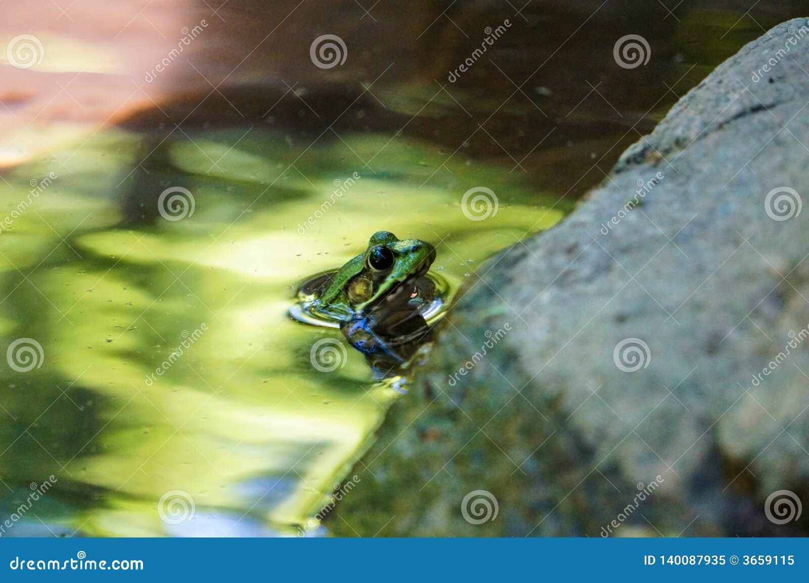 Grüner Frosch mit blauen Augen im grünen Wasser