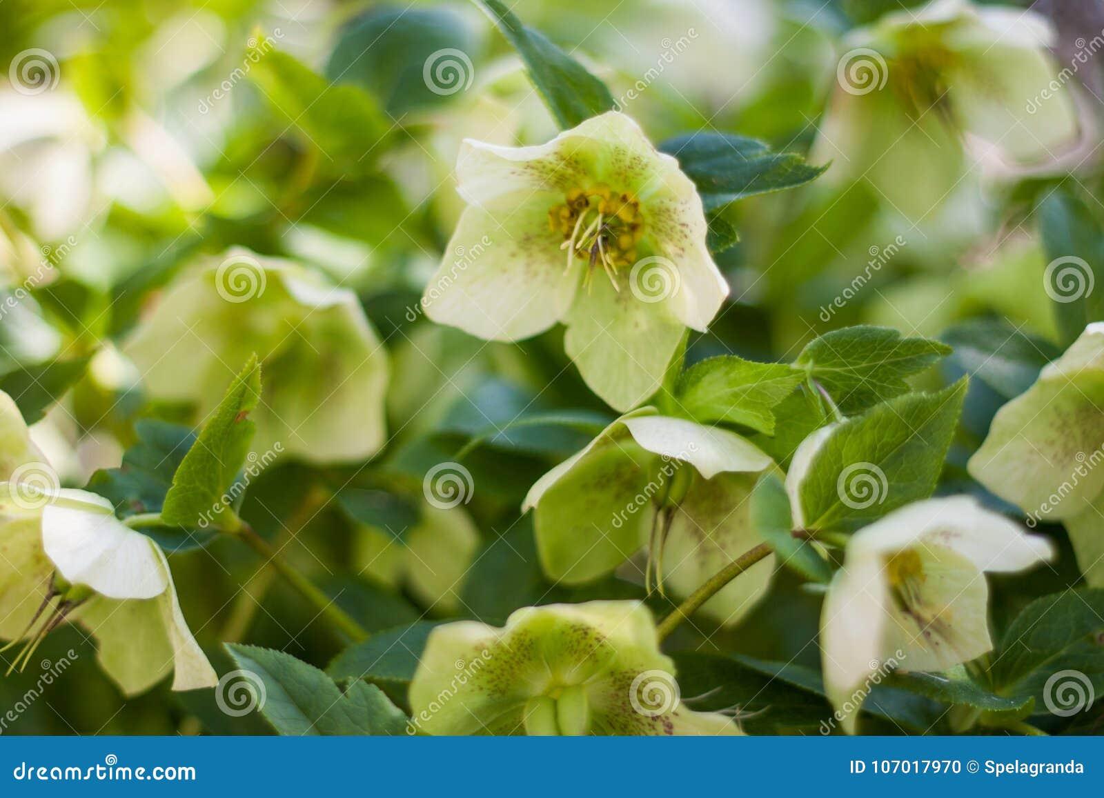 Grüner Hellebore blüht in voller Blüte