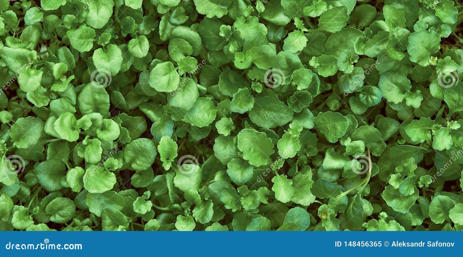 Grüner Hintergrund von jungen Blättern