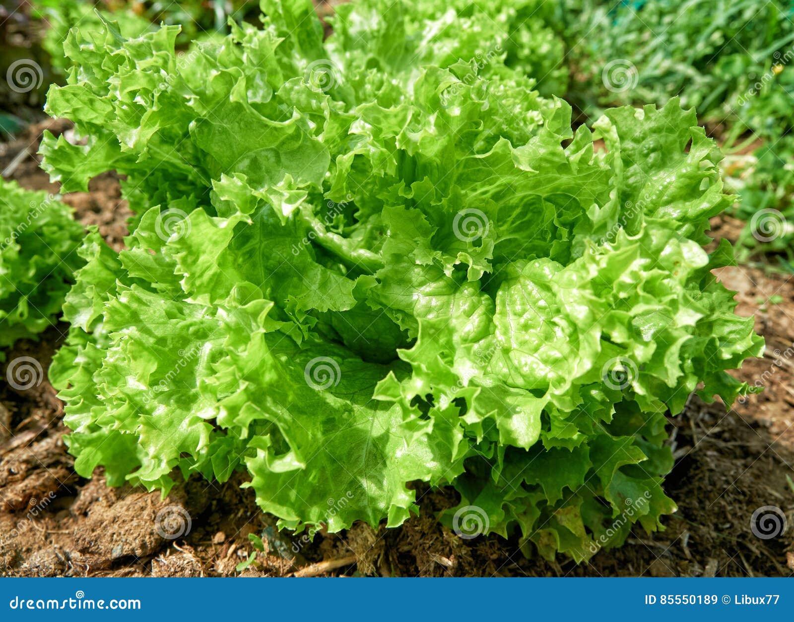Grüner Kopfsalatsalatboden