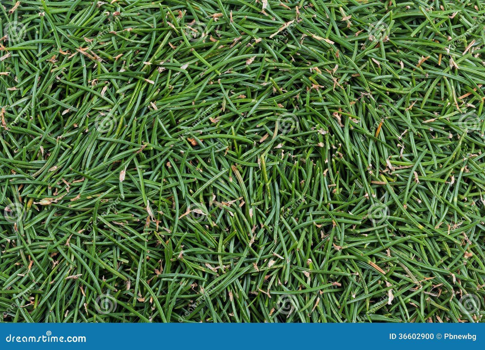 Grüner teppich  Grüner Teppich Von Tannennadeln Stockfoto - Bild: 36602900