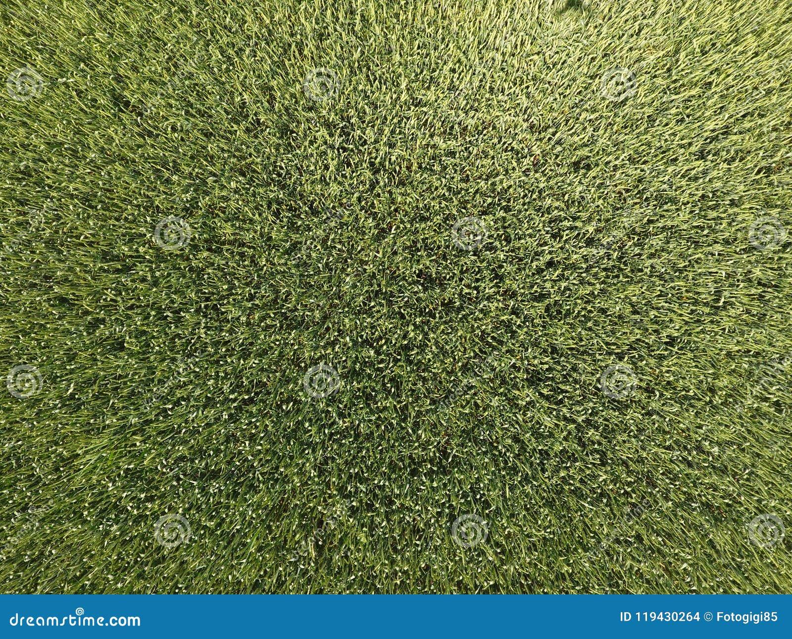 Grüner Weizen auf dem Gebiet, Draufsicht mit einem Brummen Beschaffenheit des Weizengrünhintergrundes