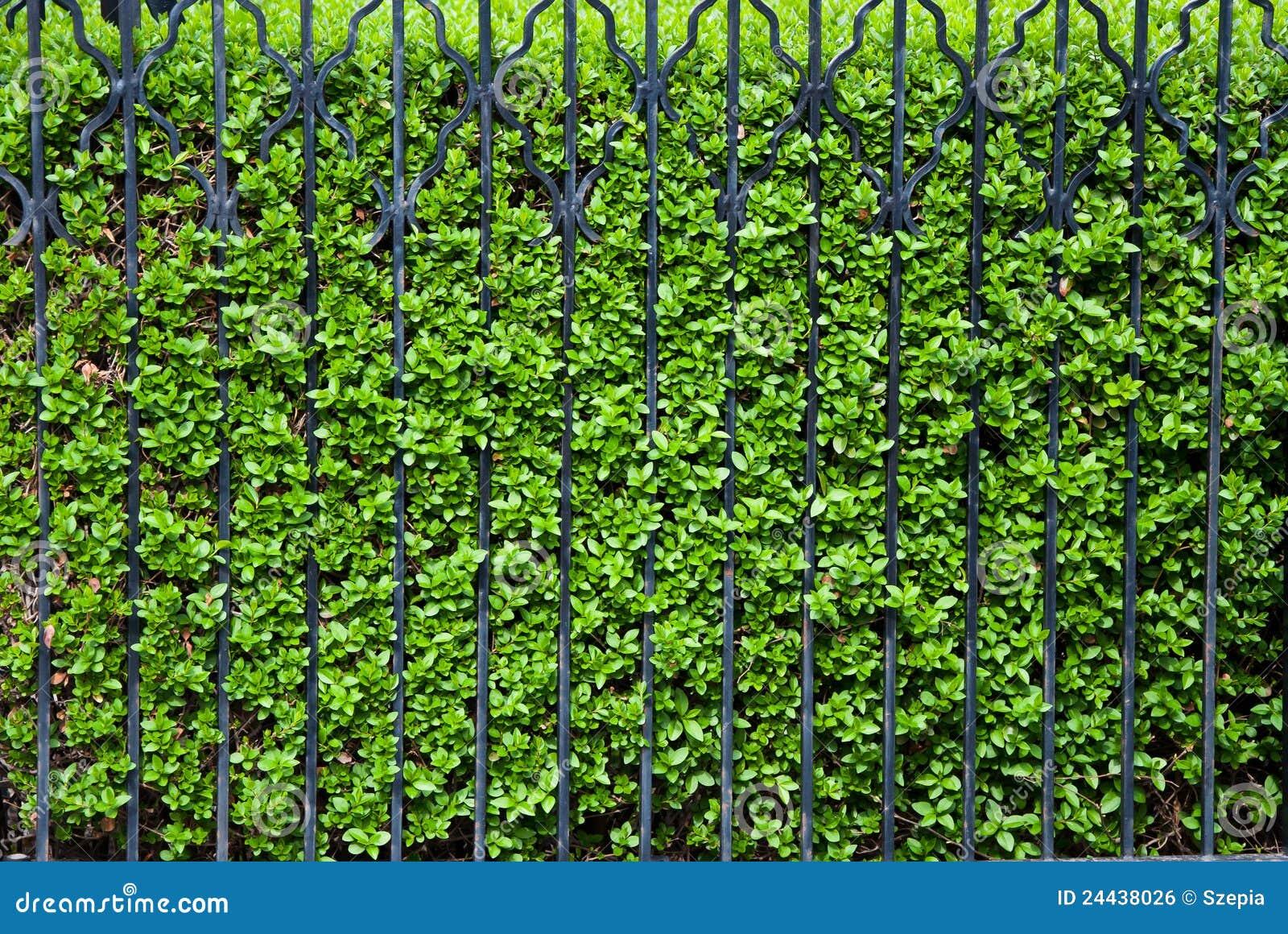 Grüner Zaun stockfoto Bild von hecke metall klassisch