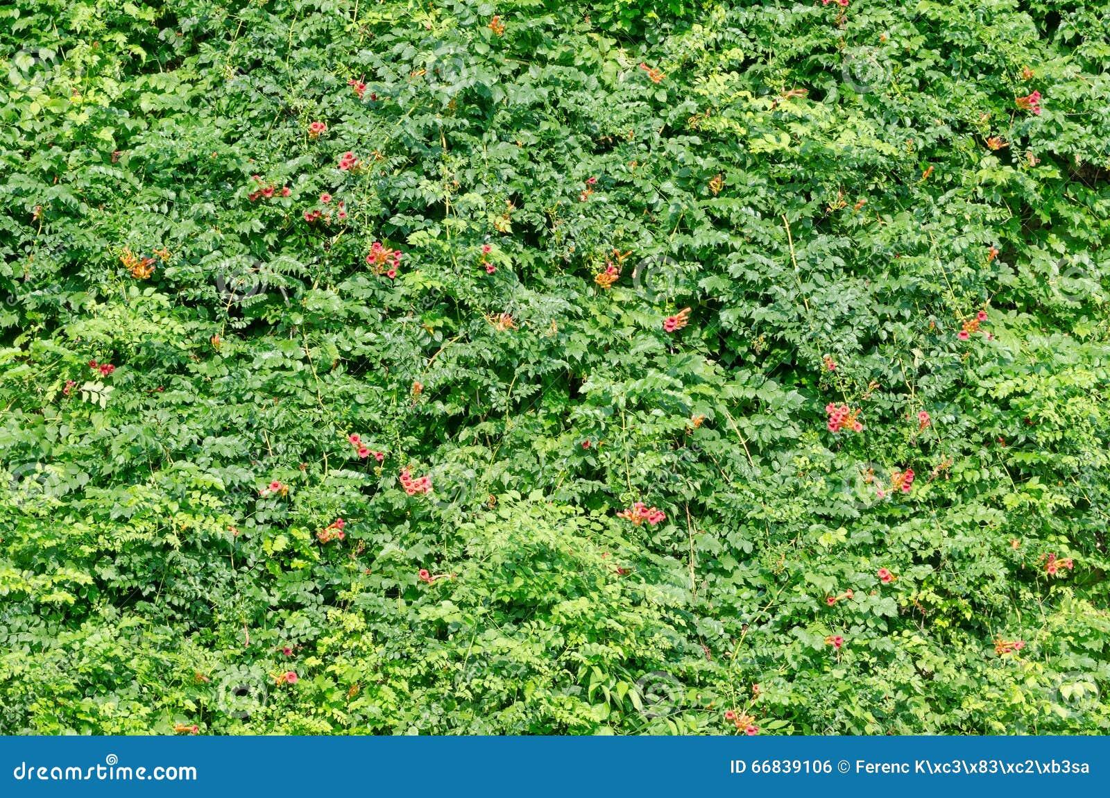 Grüner Zaun von Blättern stockfoto Bild von frech grün