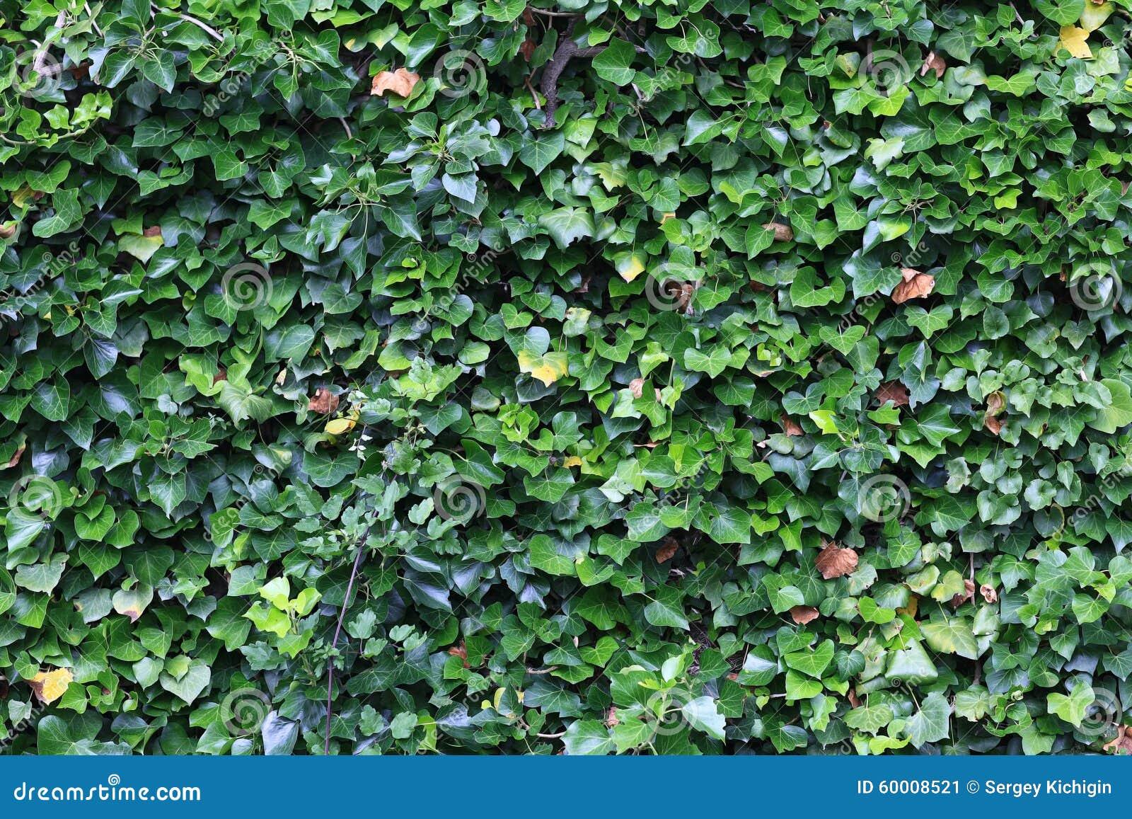 Grüner Zaun Von Den Blättern Stockbild Bild