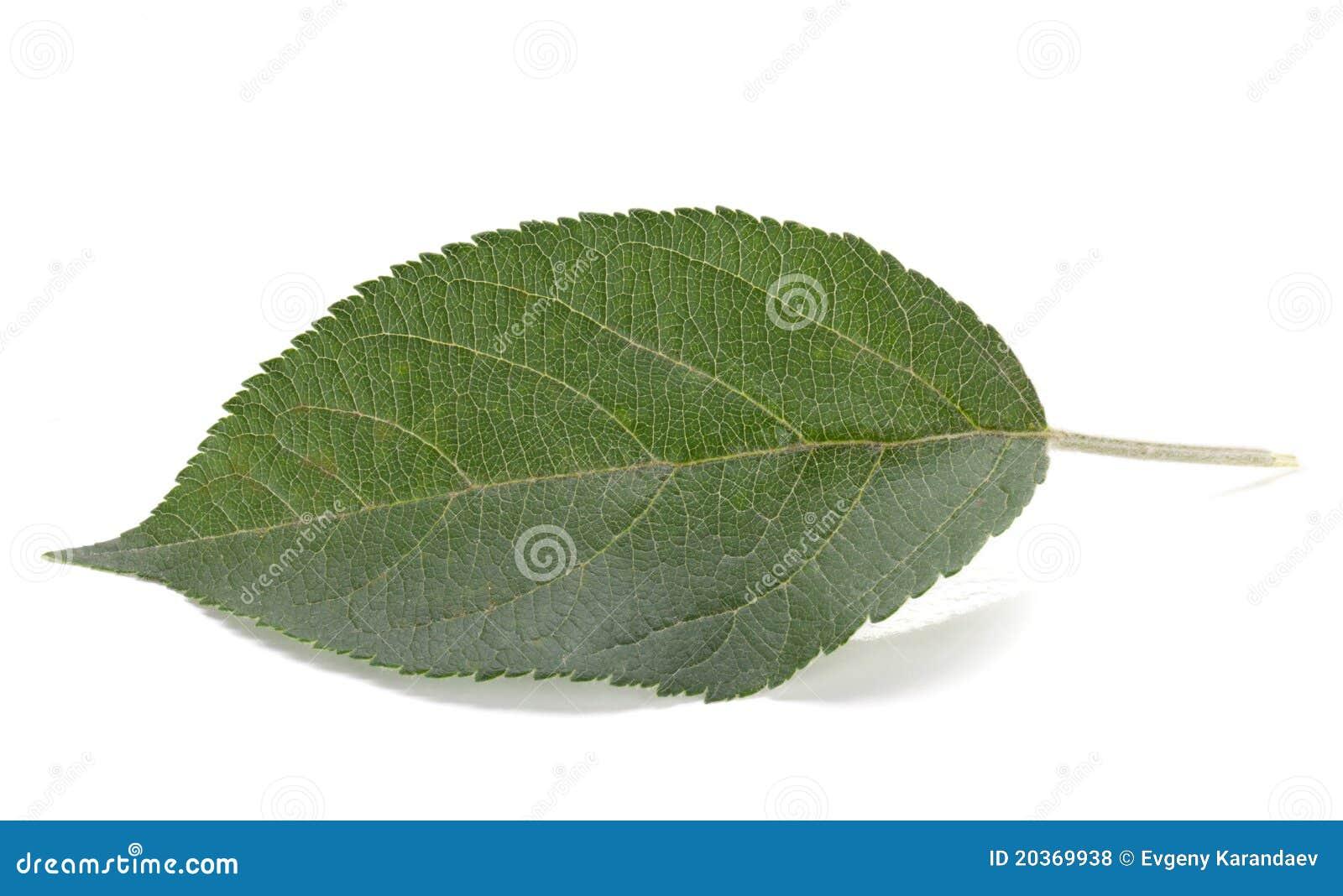 Grünes Apfelblatt Lizenzfreie Stockfotos - Bild: 20369938