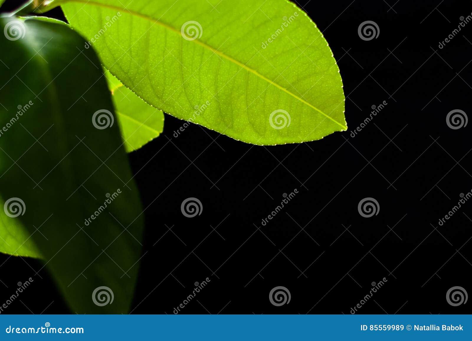Grünes Blatt der Zitrone auf einem schwarzen Hintergrundhintergrund