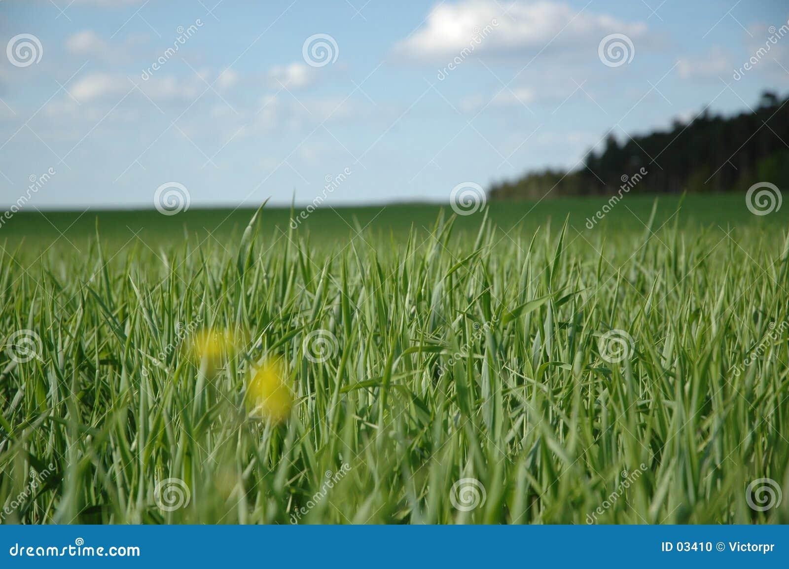 Grünes Feld, blauer Himmel