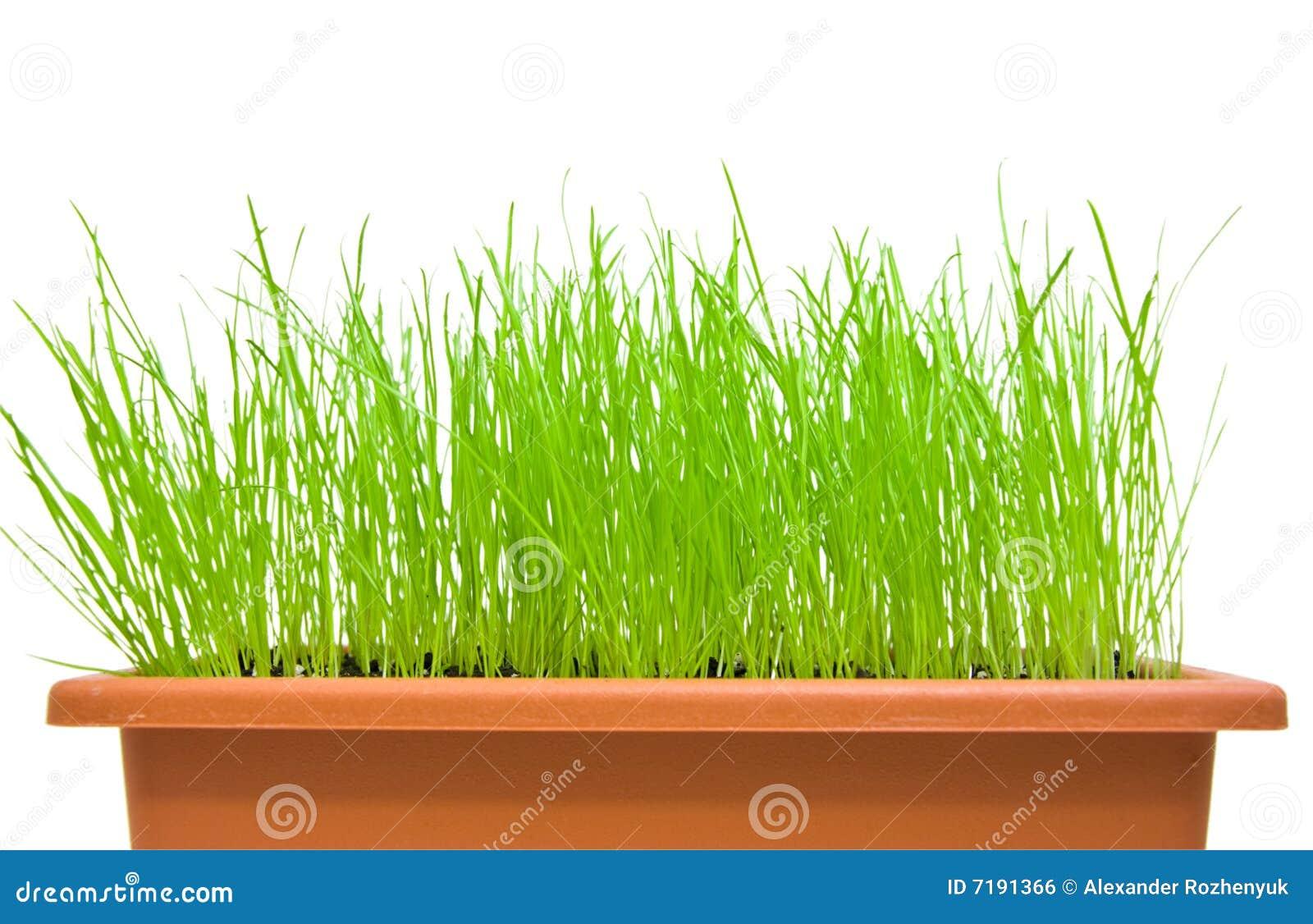 Grünes Gras getrennt über Weiß