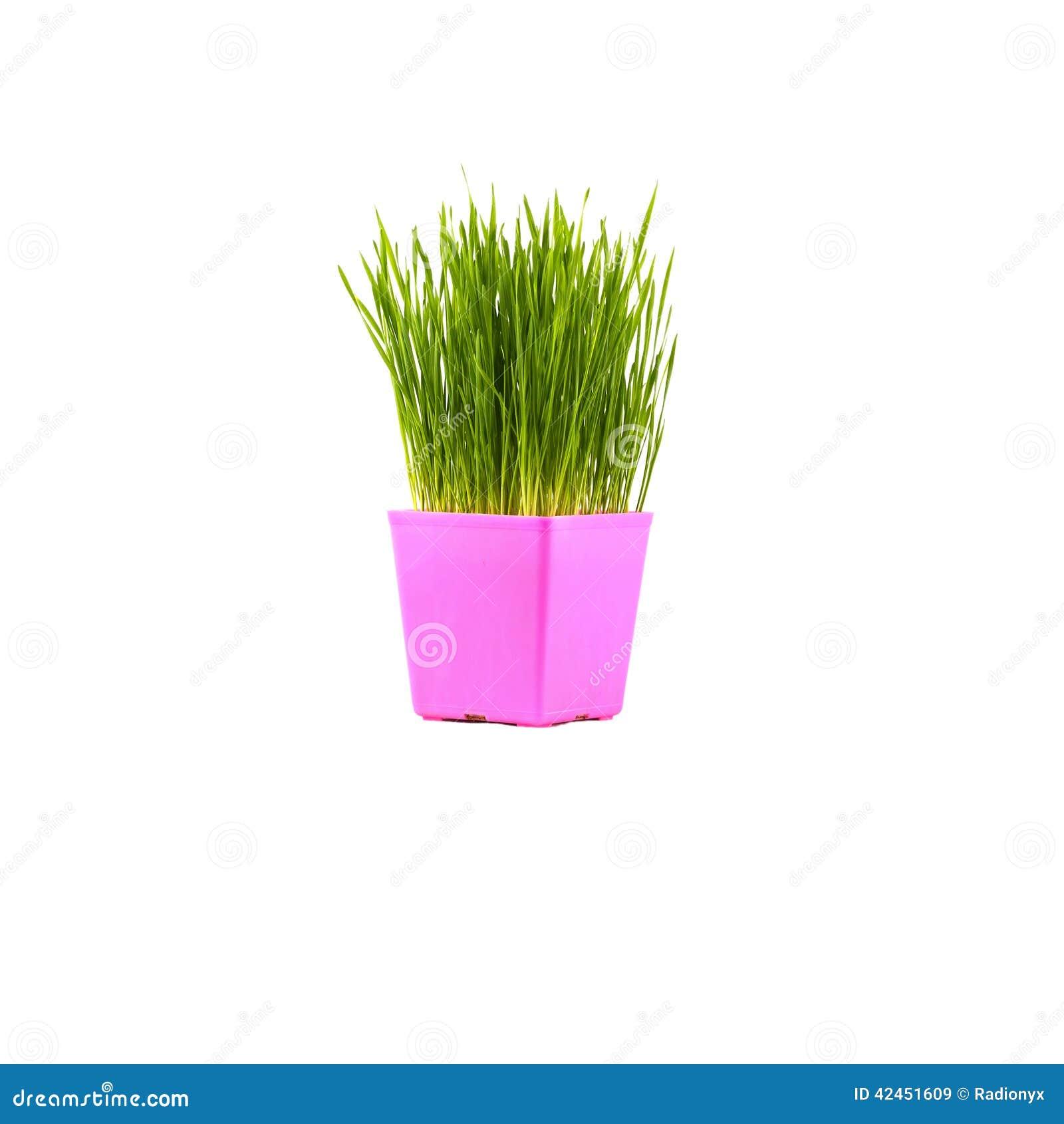 Grünes Gras im rosa Topf