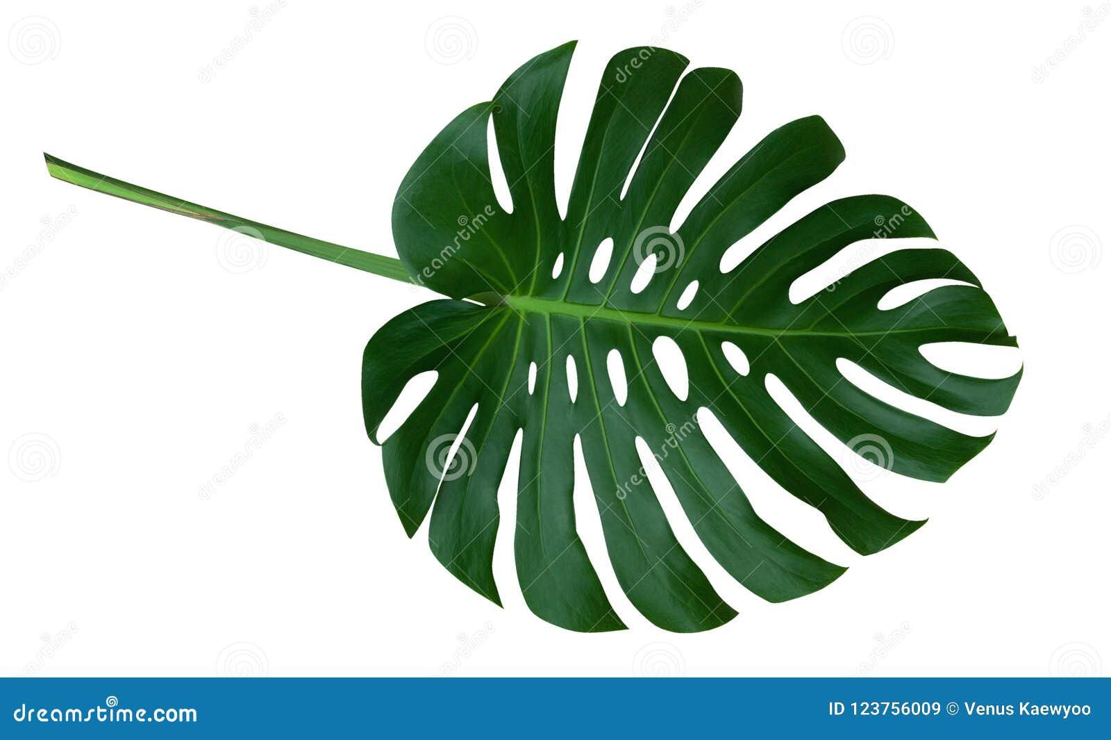 Grünes monstera Betriebsblatt mit Stiel, die tropische immergrüne Rebe lokalisiert auf weißem Hintergrund, Beschneidungspfad