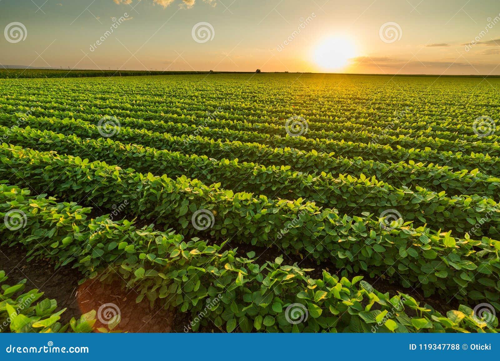 Grünes reifendes Sojabohnenfeld