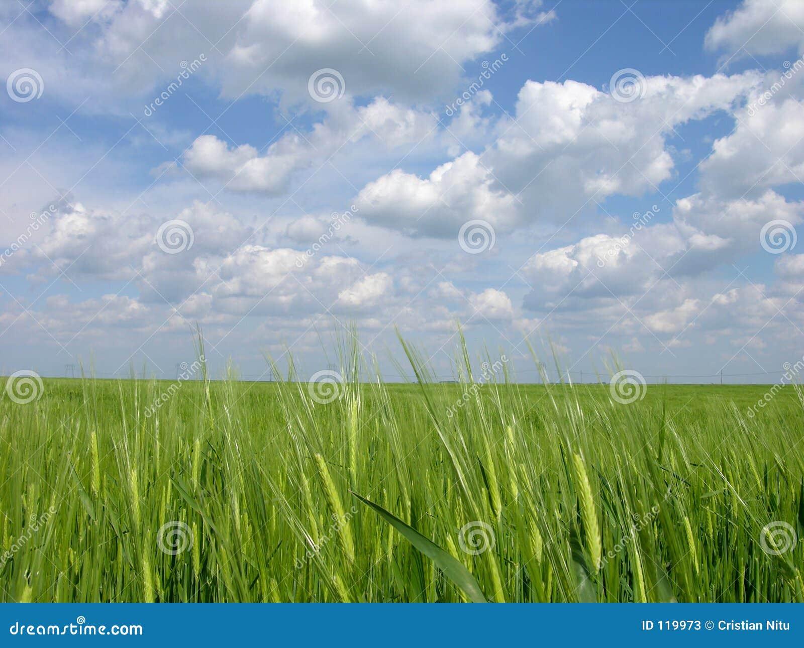 Grünes Weizen-Feld