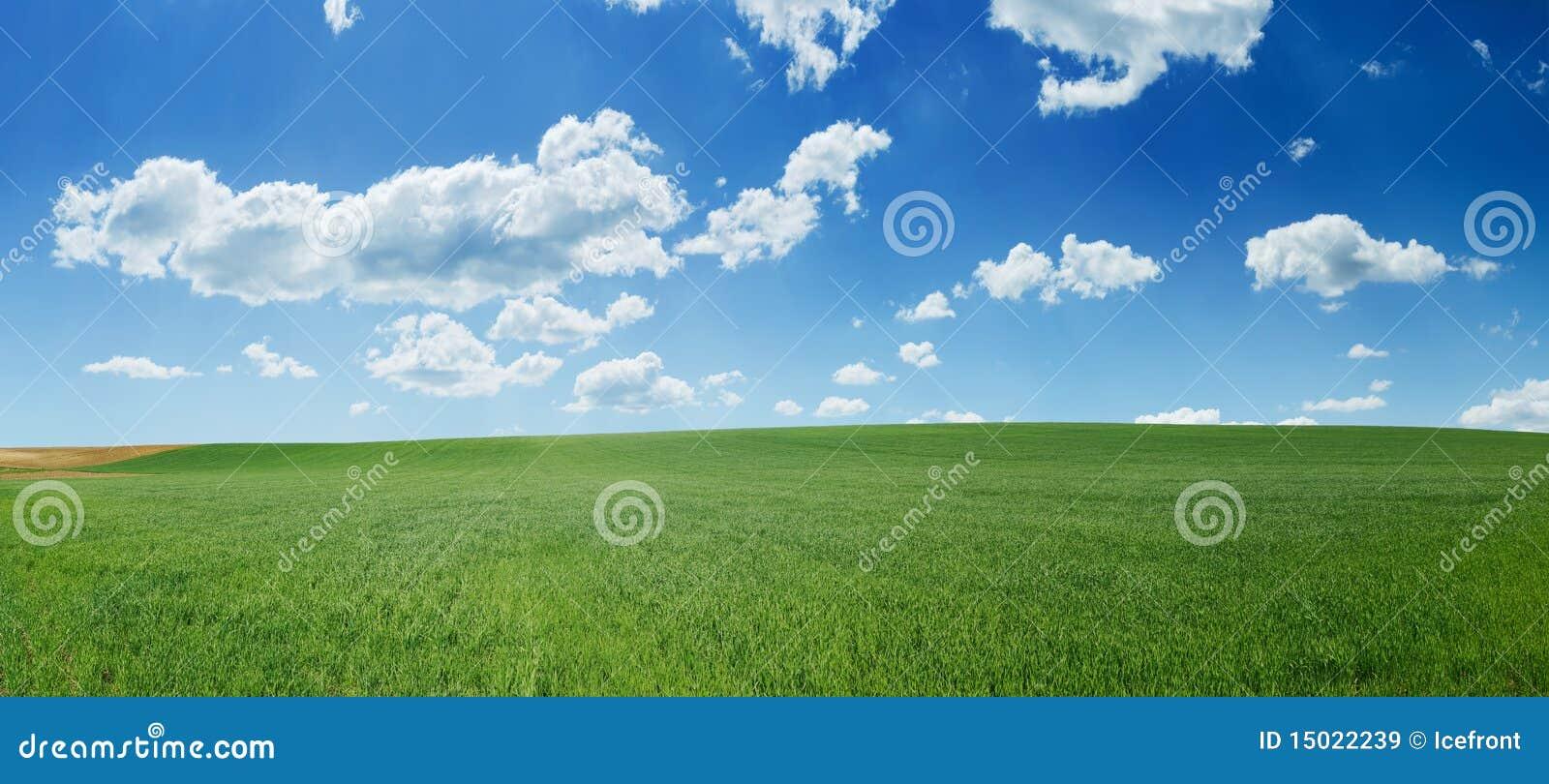 Grünes Weizenfeld und Panorama des blauen Himmels