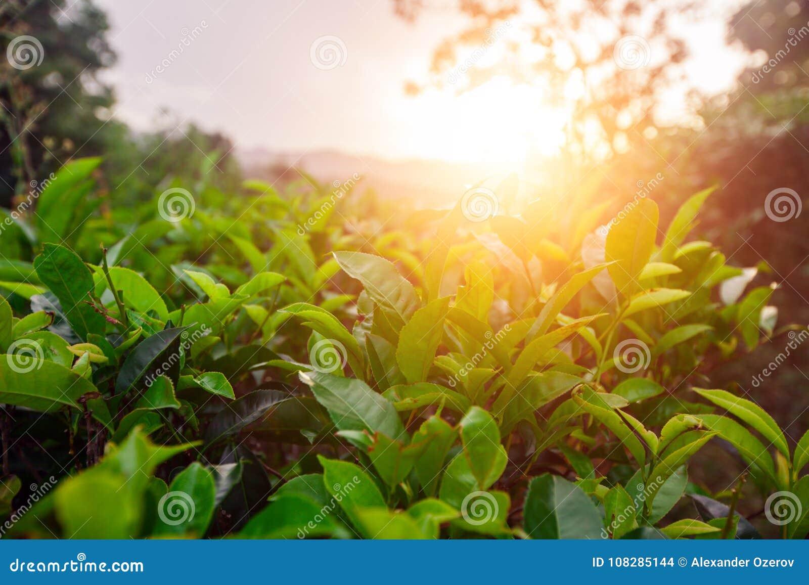 Grünfelder des Tees zur Sonnenuntergangzeit