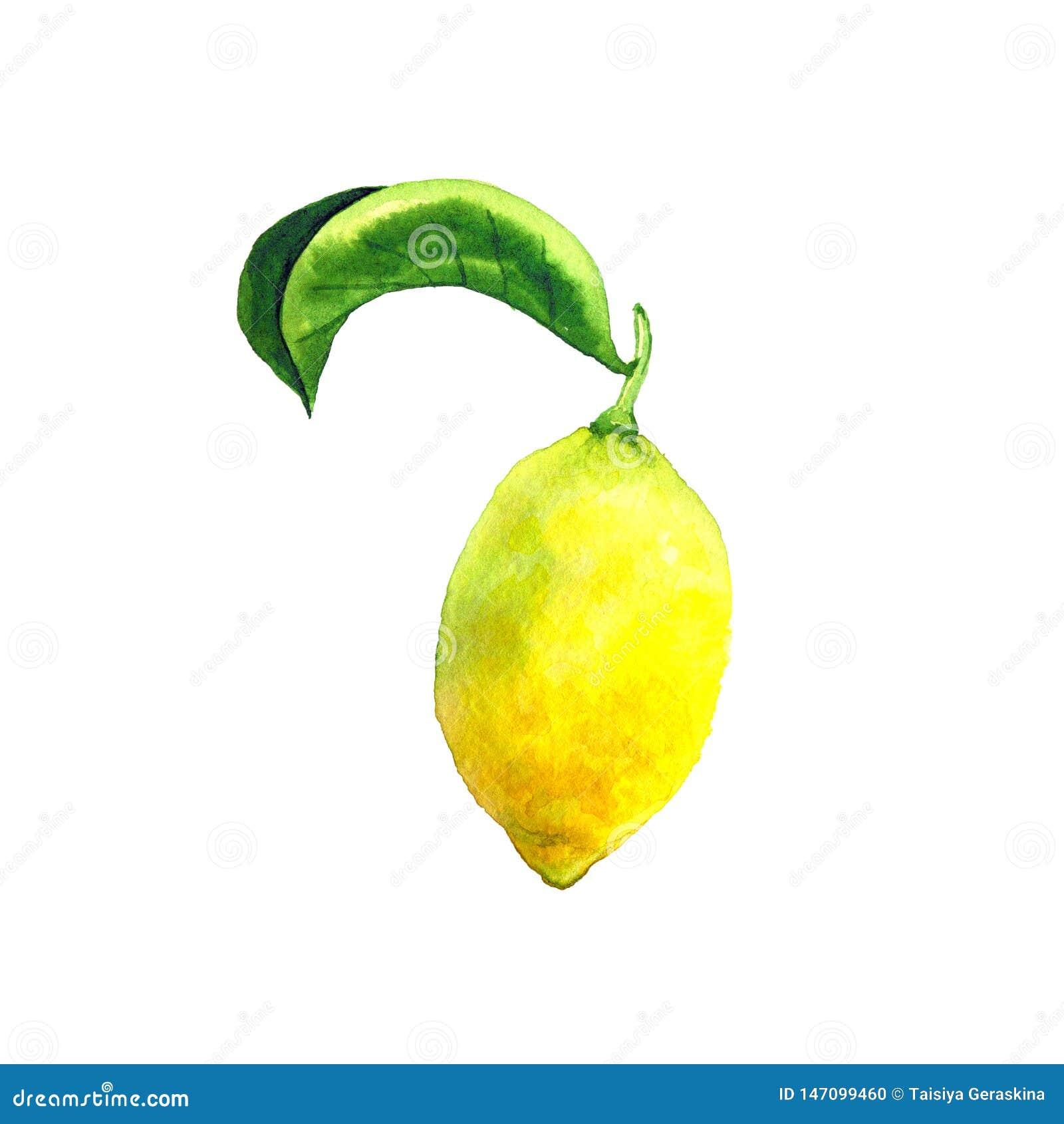 Gr?n leafcitron Ljus gul frukt Botanisk best?ndsdel f?r design Hand dragen vattenf?rgillustration Isolerat p? vit