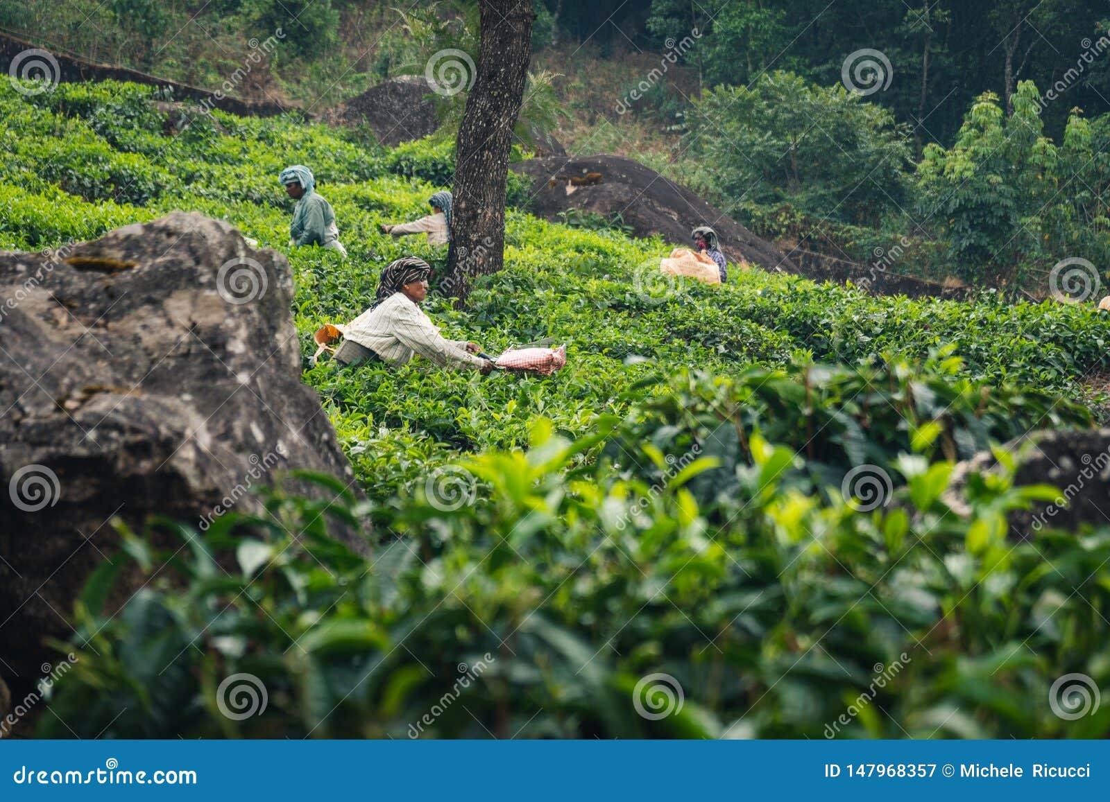 Gr?n Munnar-Teeplantagen-Keralas Indien