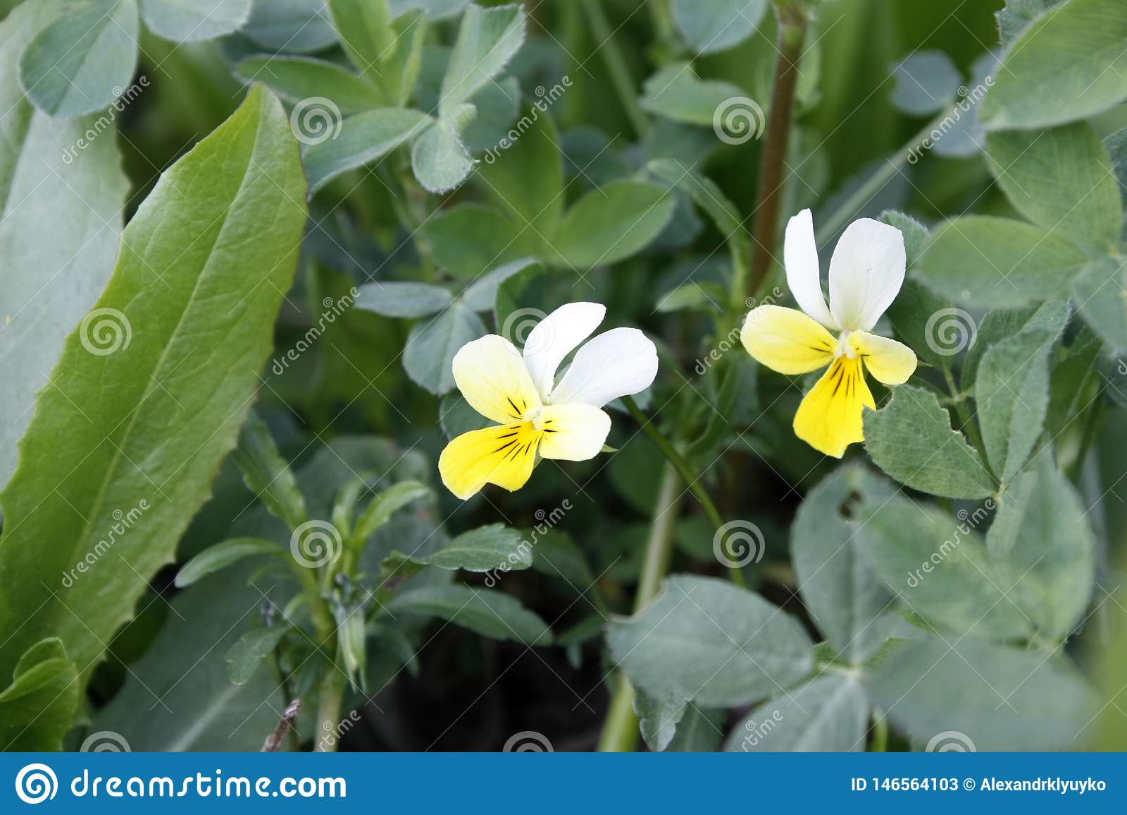 Gr?n ny v?xt av sl?ktet Trifolium som v?xer i tidig v?r Kan anv?ndas som en bakgrund eller en textur, n?rbild
