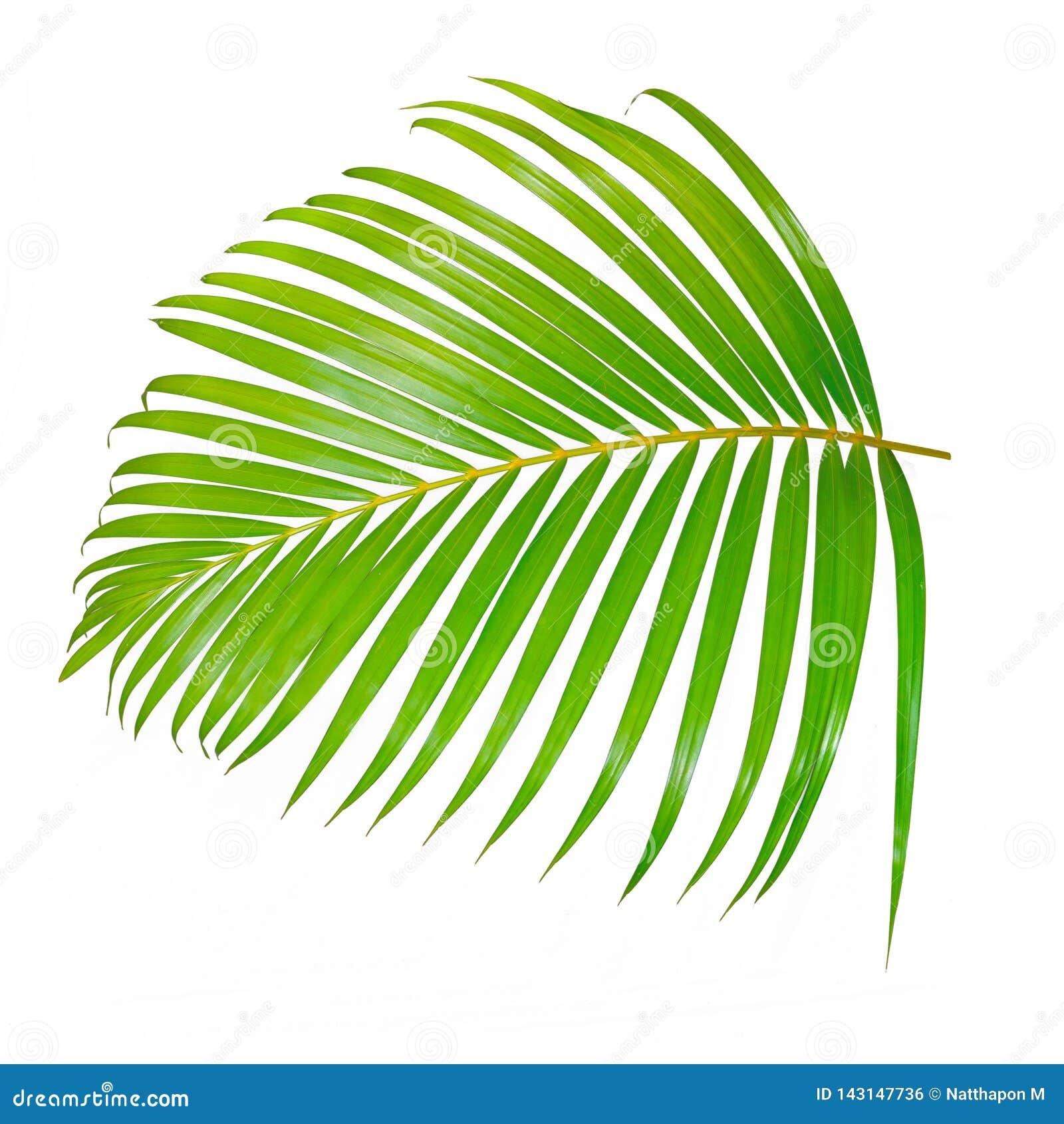 Gr?n palmblad som isoleras p? vit bakgrund med den snabba banan