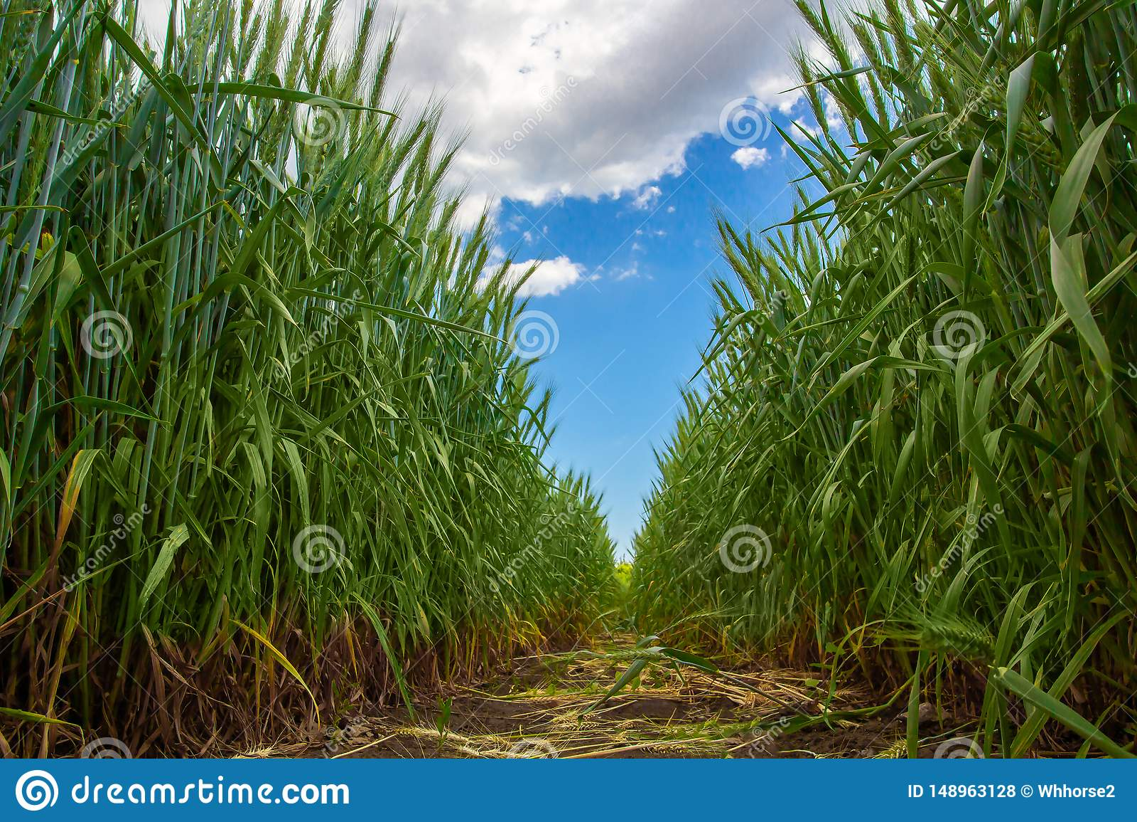 Gr?ne ?hrchen des Weizens gegen den blauen Himmel und die grauen Wolken