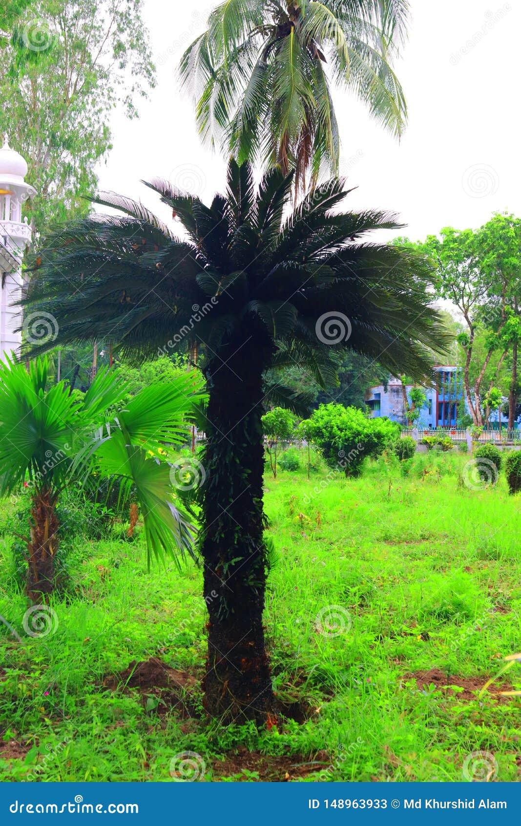 Gr?ne sch?ne Palme Langer Stamm-Dattelpalme-Baum Daten an einer Palme Datumspalmenniederlassungen mit reifen Daten B?ndel barhi D