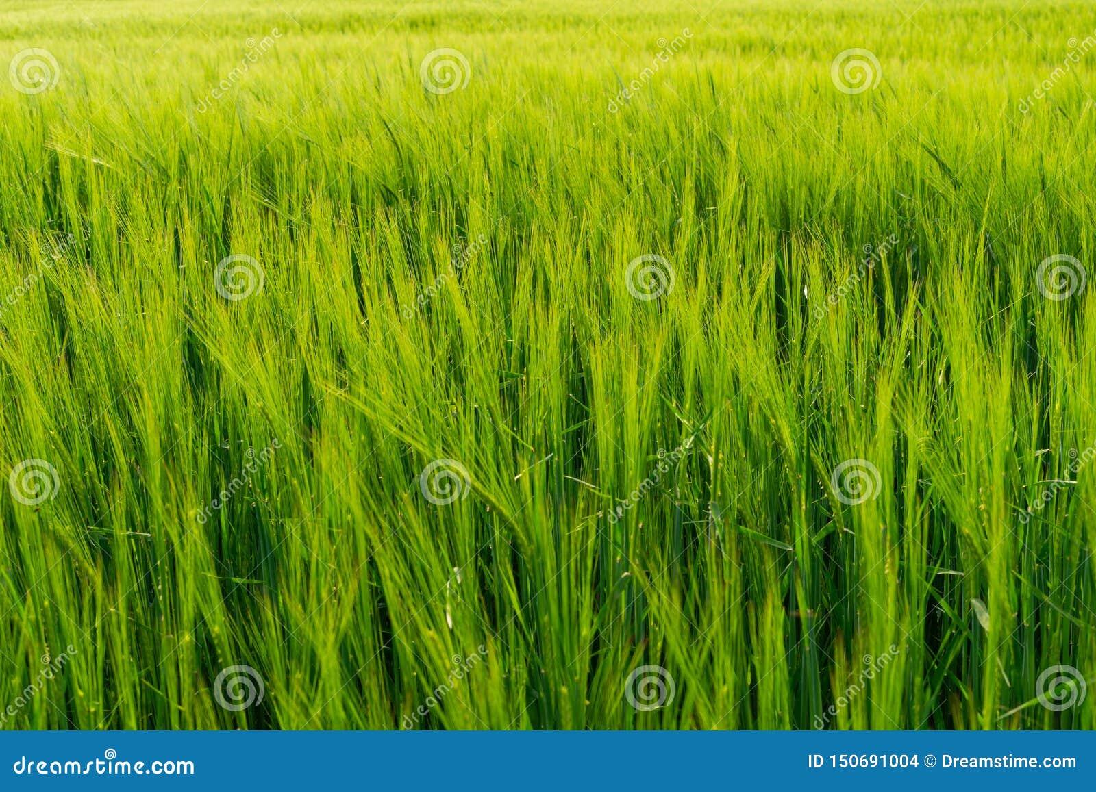 Gr?nes Feld voll des Weizens