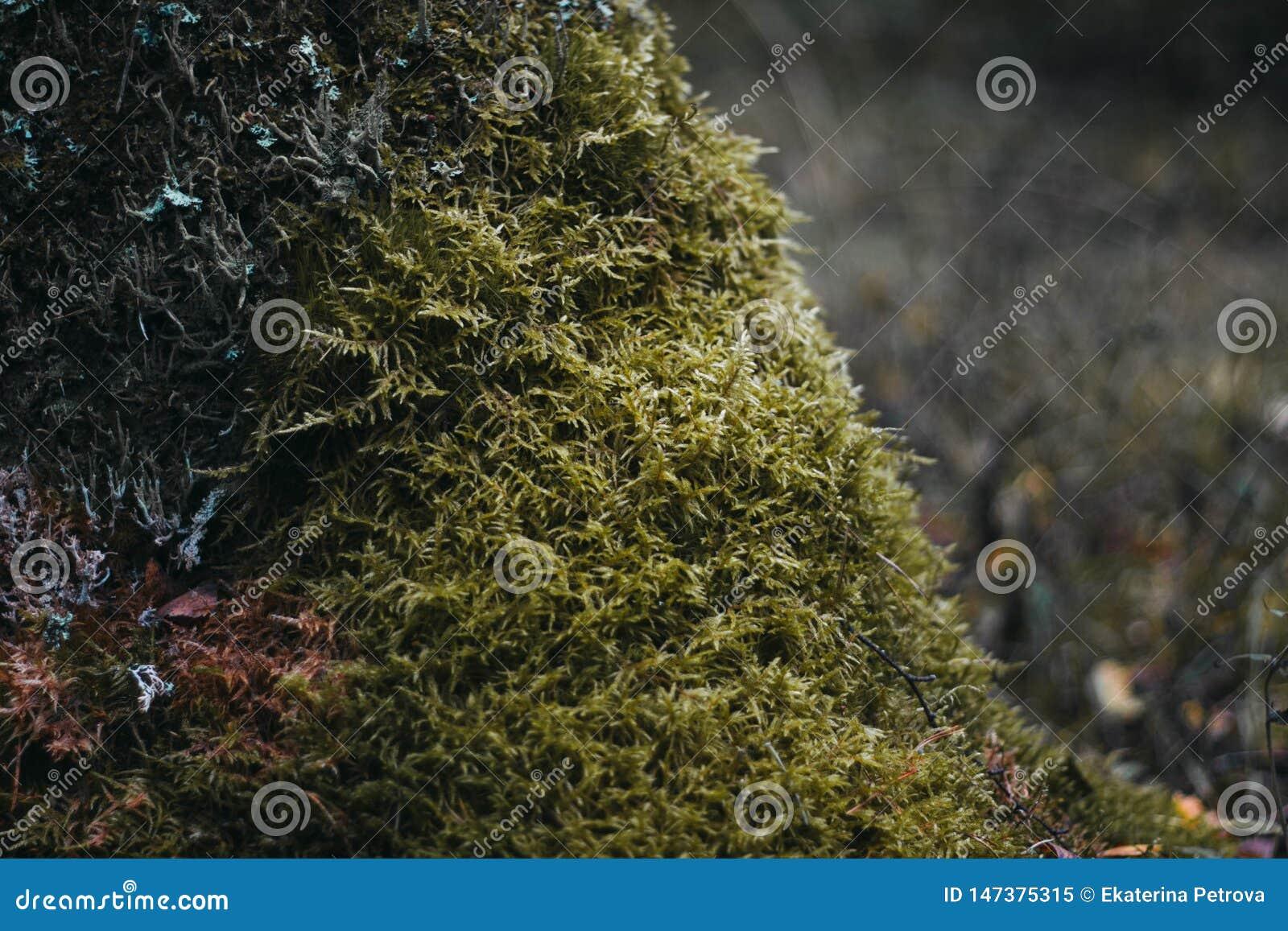Gr?nes Moos auf einem Baum in der Waldnahaufnahme Oberfläche umfasst mit Moos Makromoos Moos im Wald