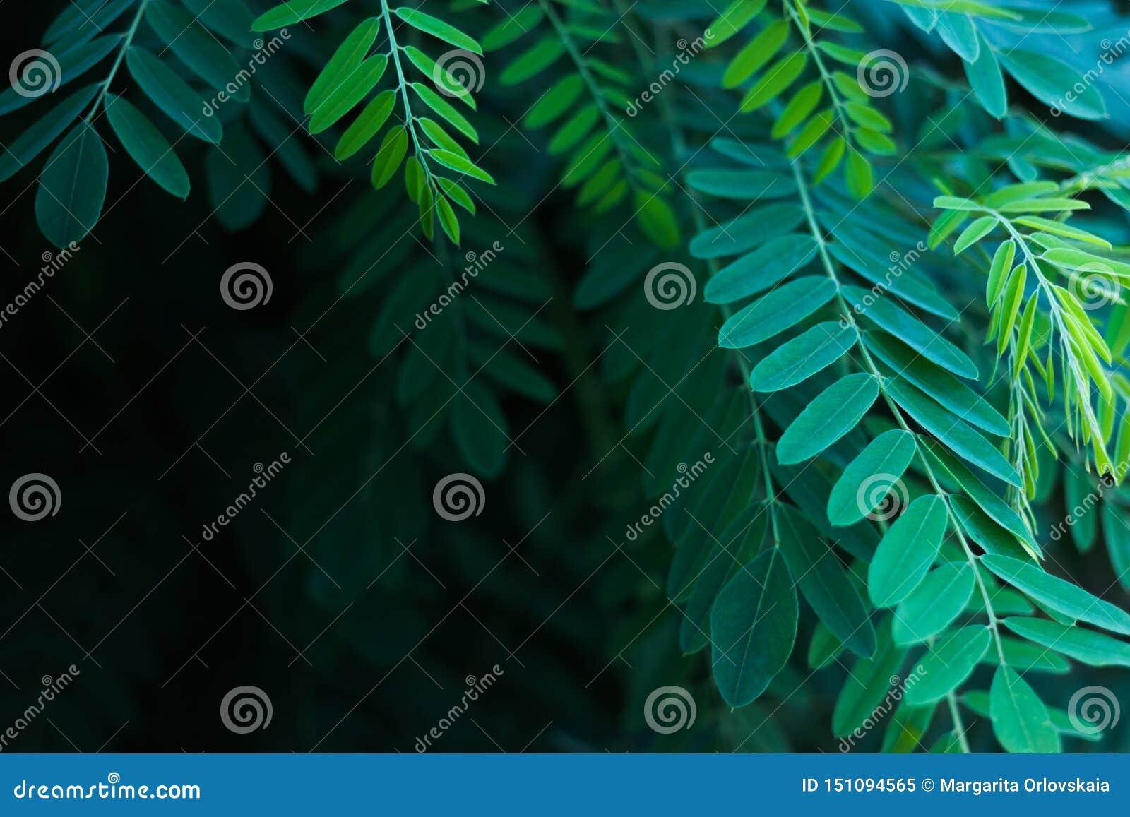 Gr?splansidor av akacian i solljuset