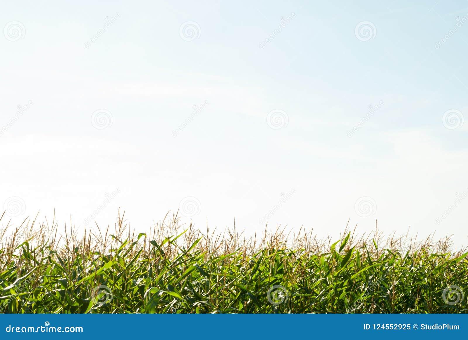 Graangebied en de hemel in de de zomerdag