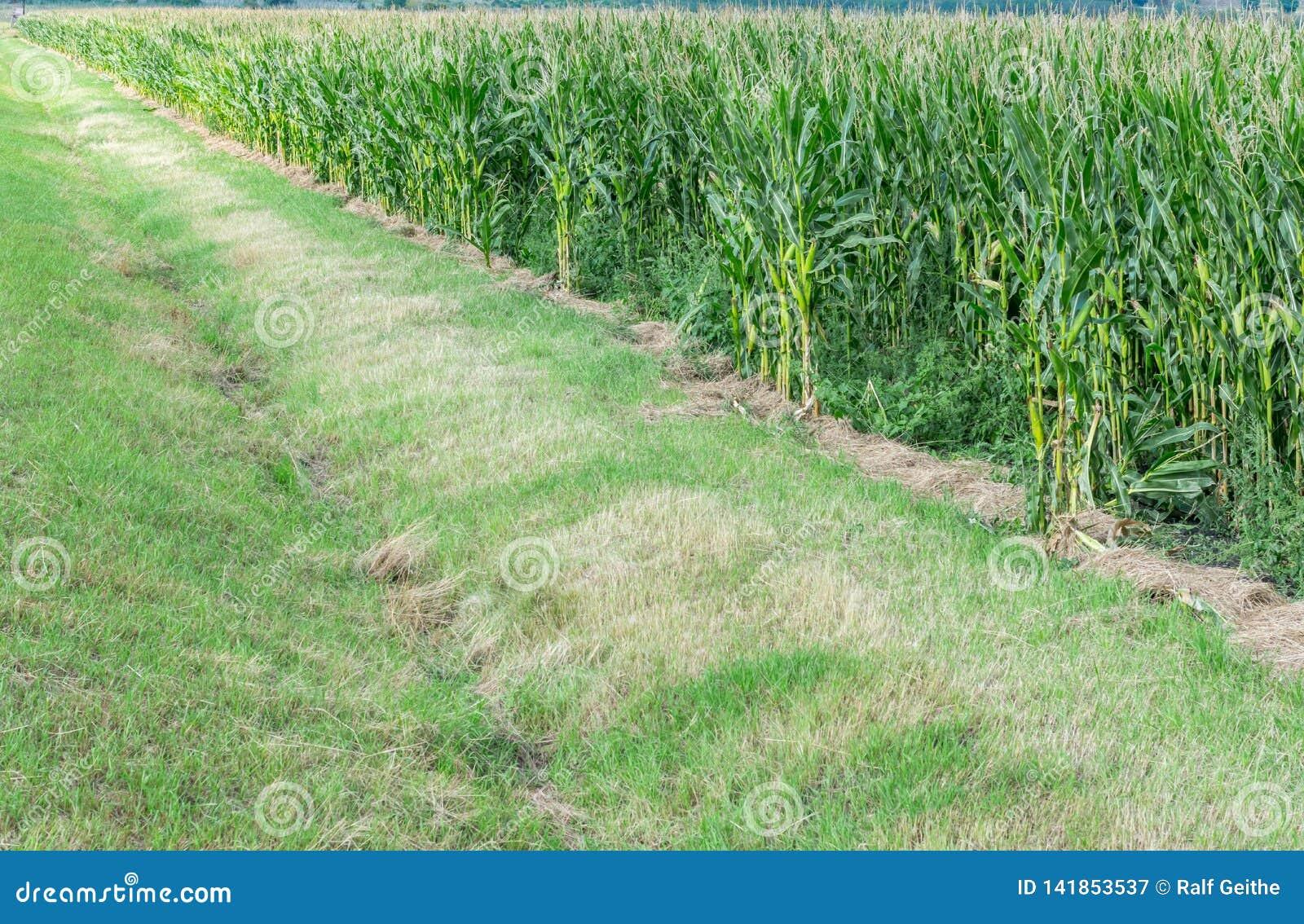 Graangebied met irrigatiesloot