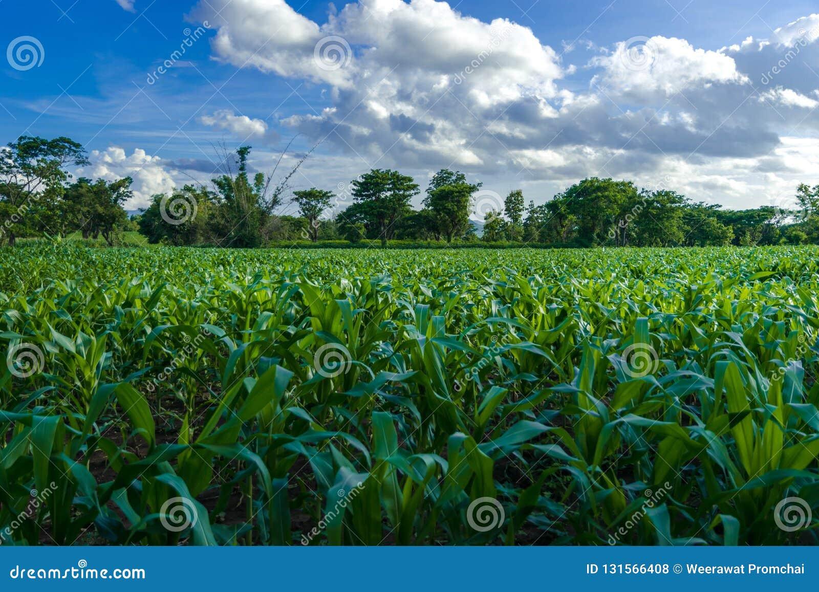 Graanlandbouwbedrijf en duidelijke blauwe hemel