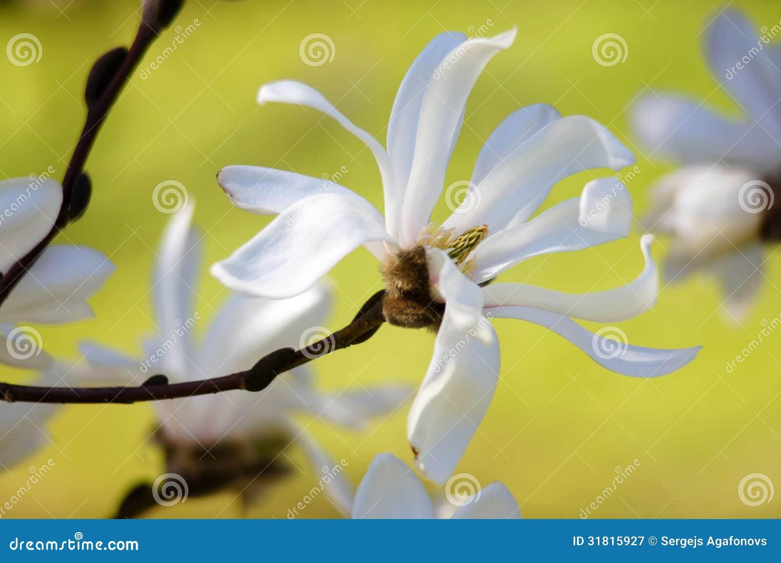 Grace του magnolia.