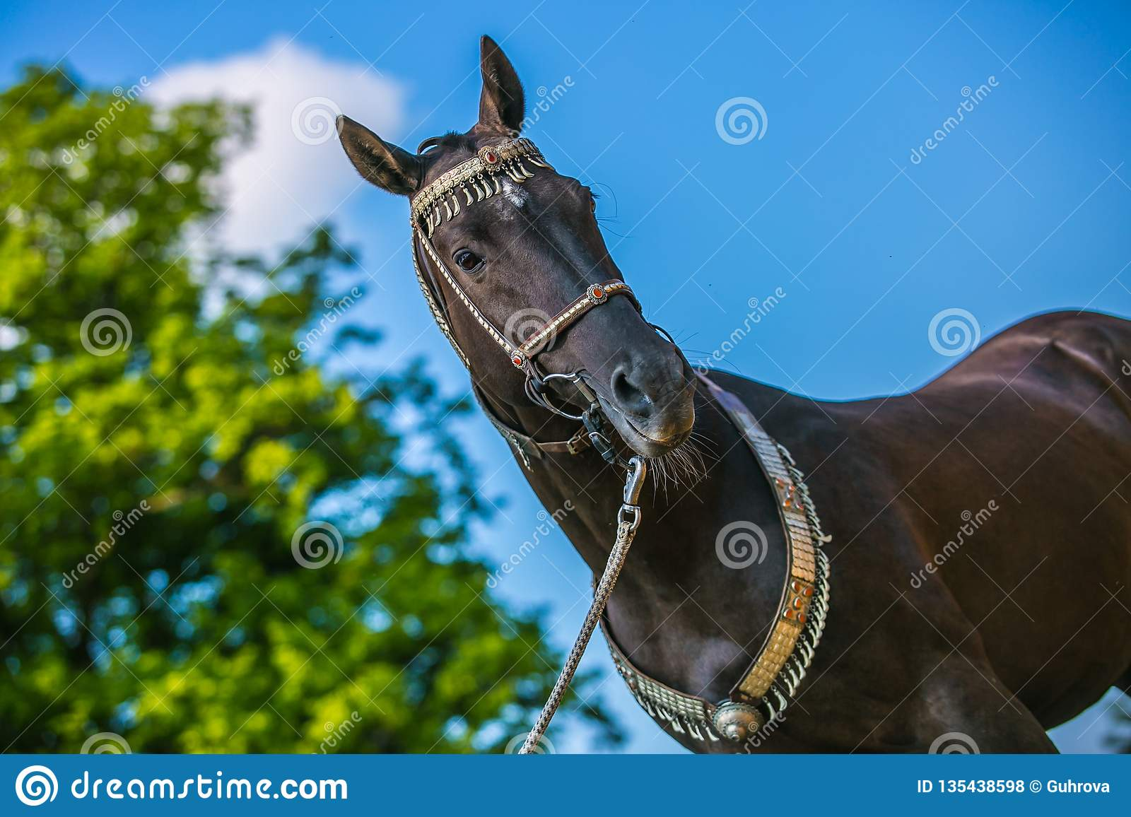 Graceful dark brown akhal teke horse standing outdoors on a sunny day
