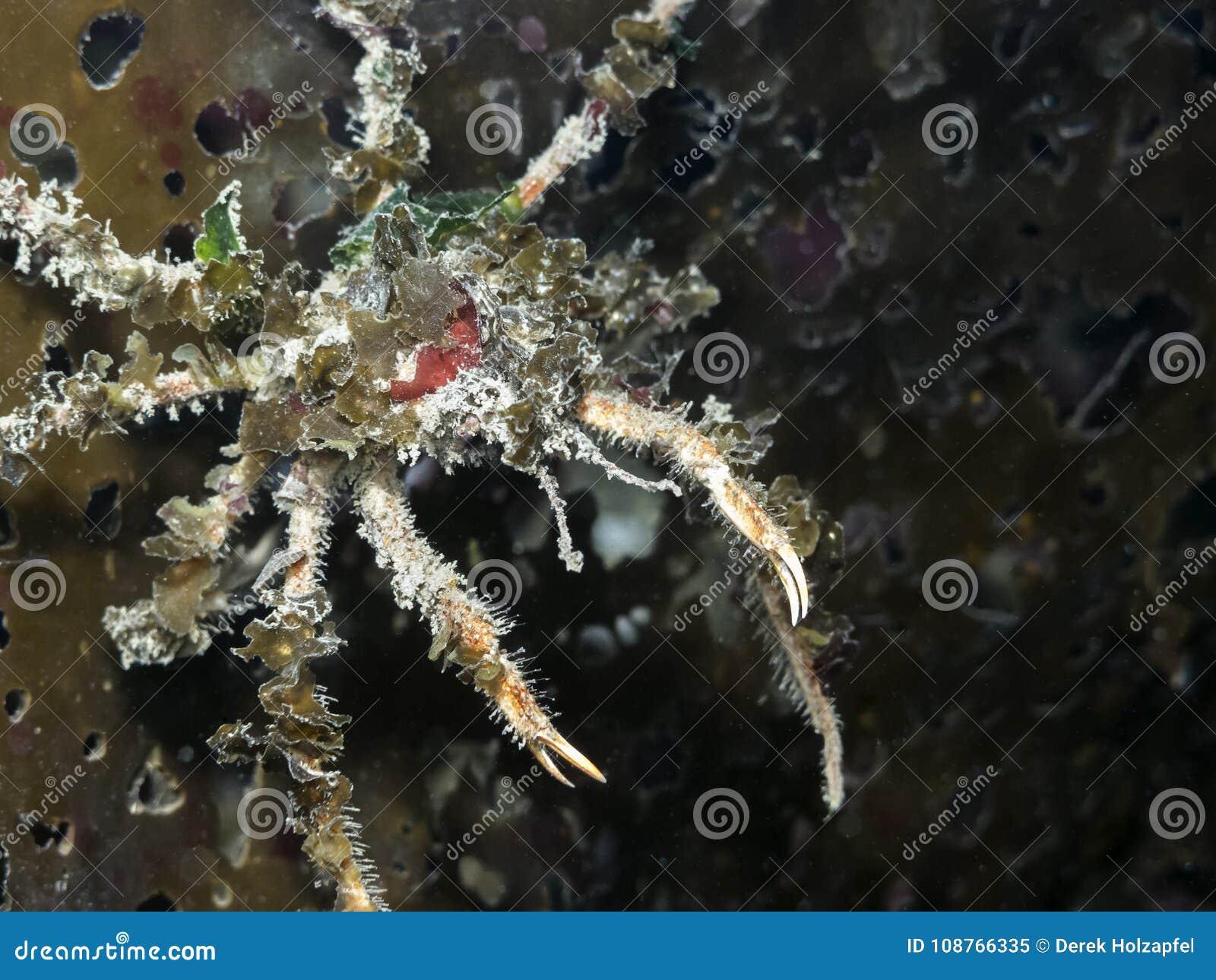 Graceful Decorator Crab Oregonia Gracilis Stock Image Image Of