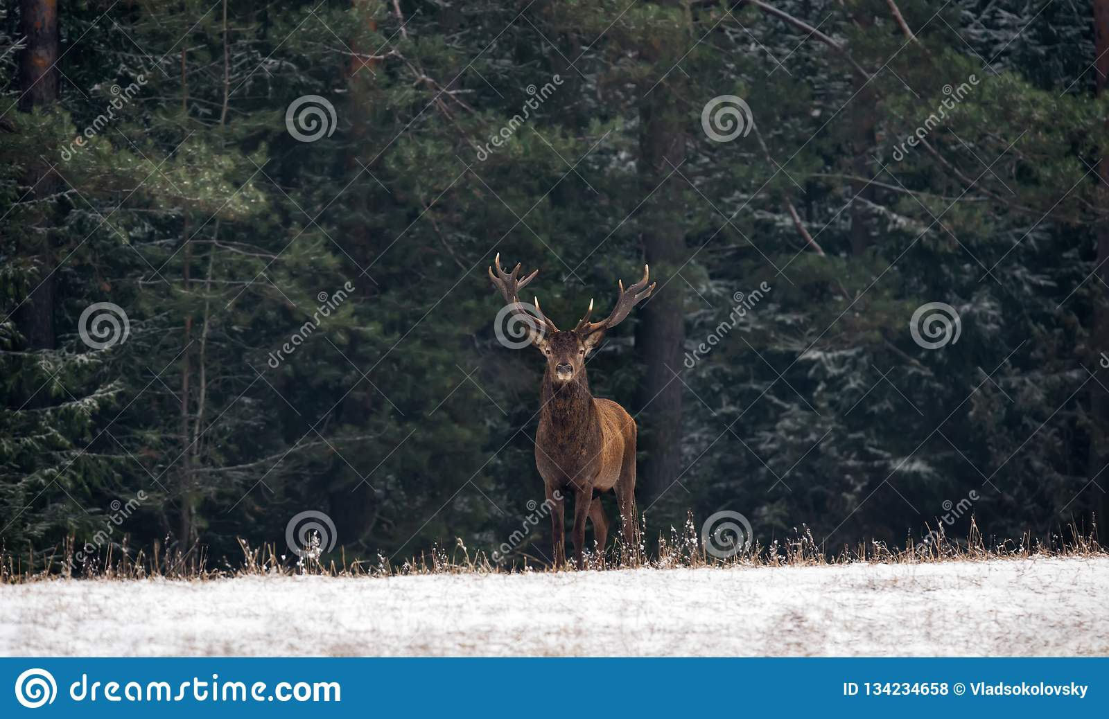 Graceful Deer Stag An Adult Male With Beautiful Horns Against The Backdrop Of Green Winter Pine Forest, With Snow-Covered Fo