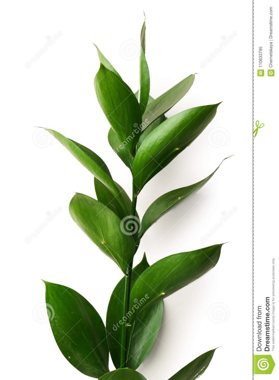 Graceful Israeli Ruscus Stock Image Of Leaf Object