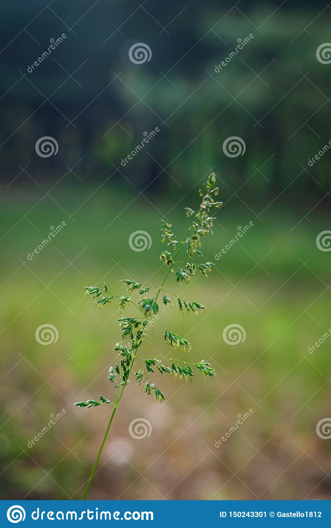 Graceful thin field spikelet in the sun against the backdrop of green forest. Soft focus