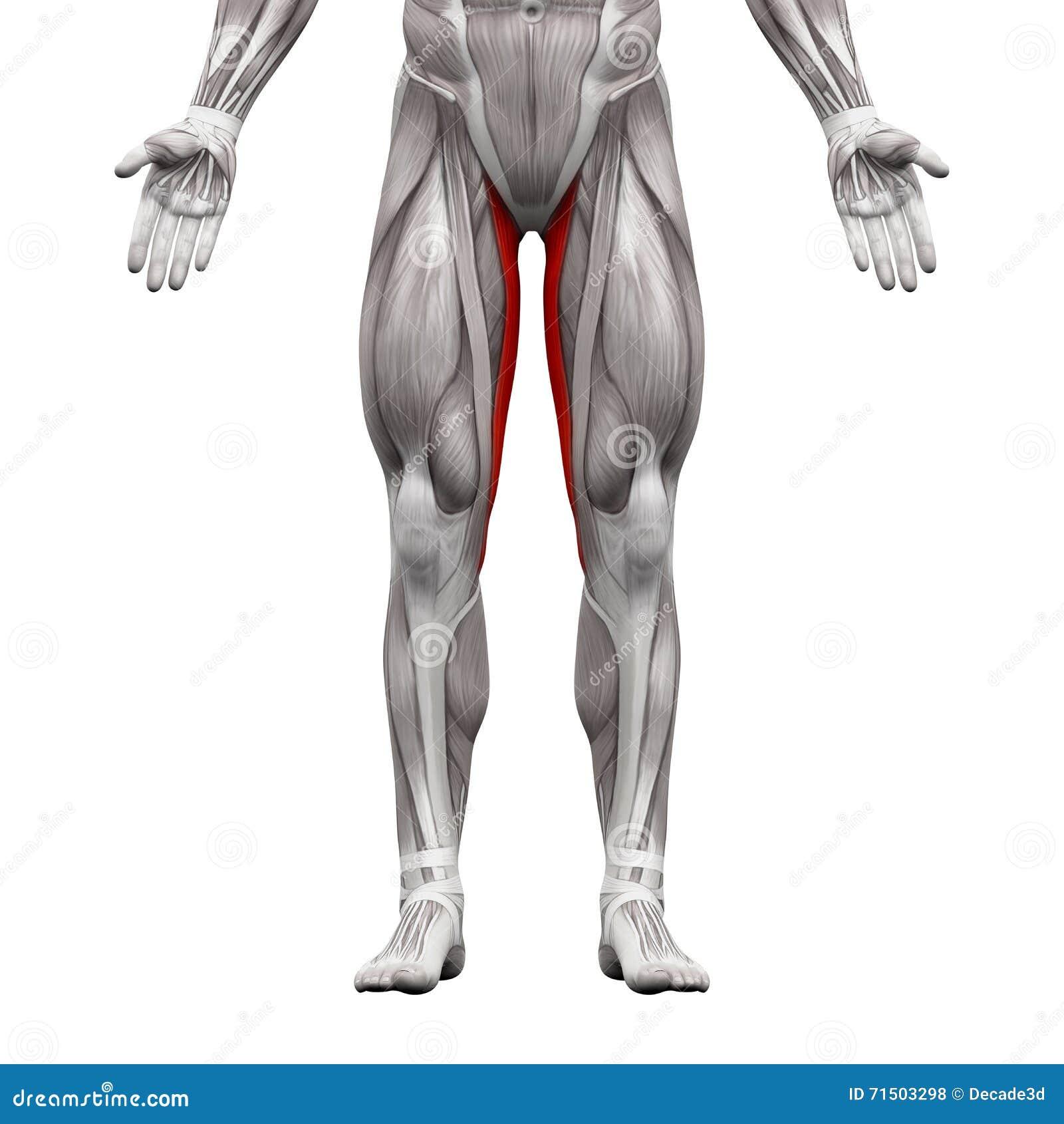 Gracilis мышца - мышцы анатомии изолированные на бело- illustr 3D