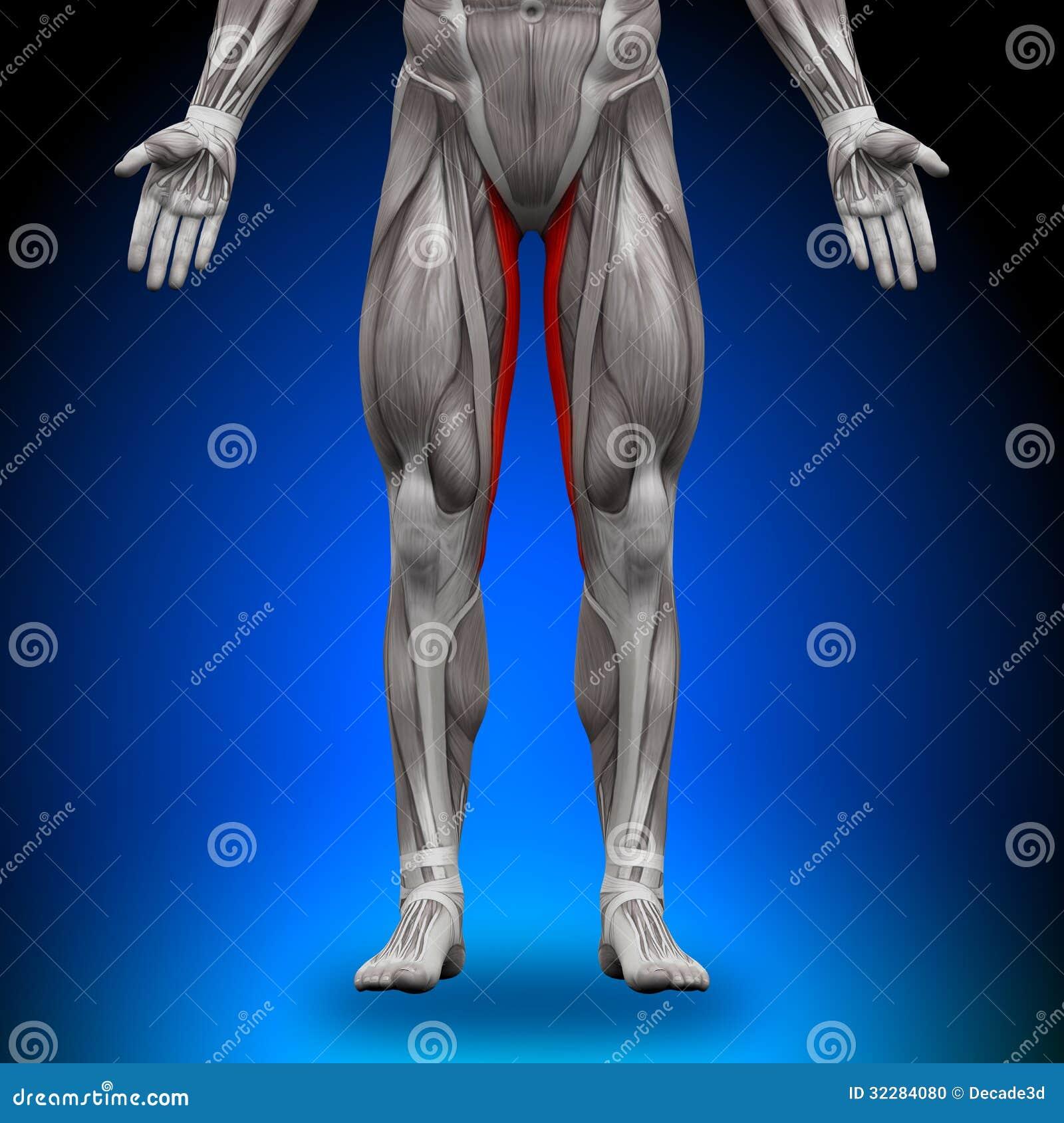 Gracilis - Músculos De La Anatomía Stock de ilustración ...
