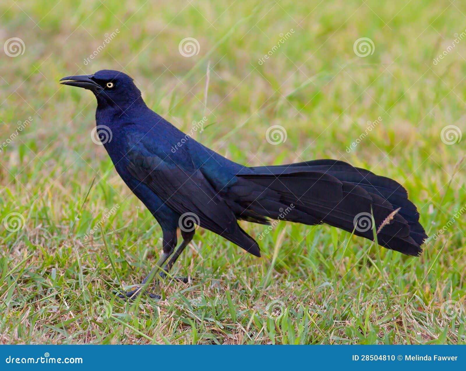 Download Grackle stock photo. Image of grackle, black, bird, side - 28504810