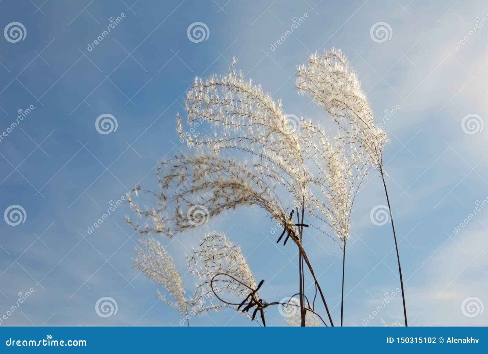 Grafische pluizige droge aartjes tegen de blauwe bewolkte hemel
