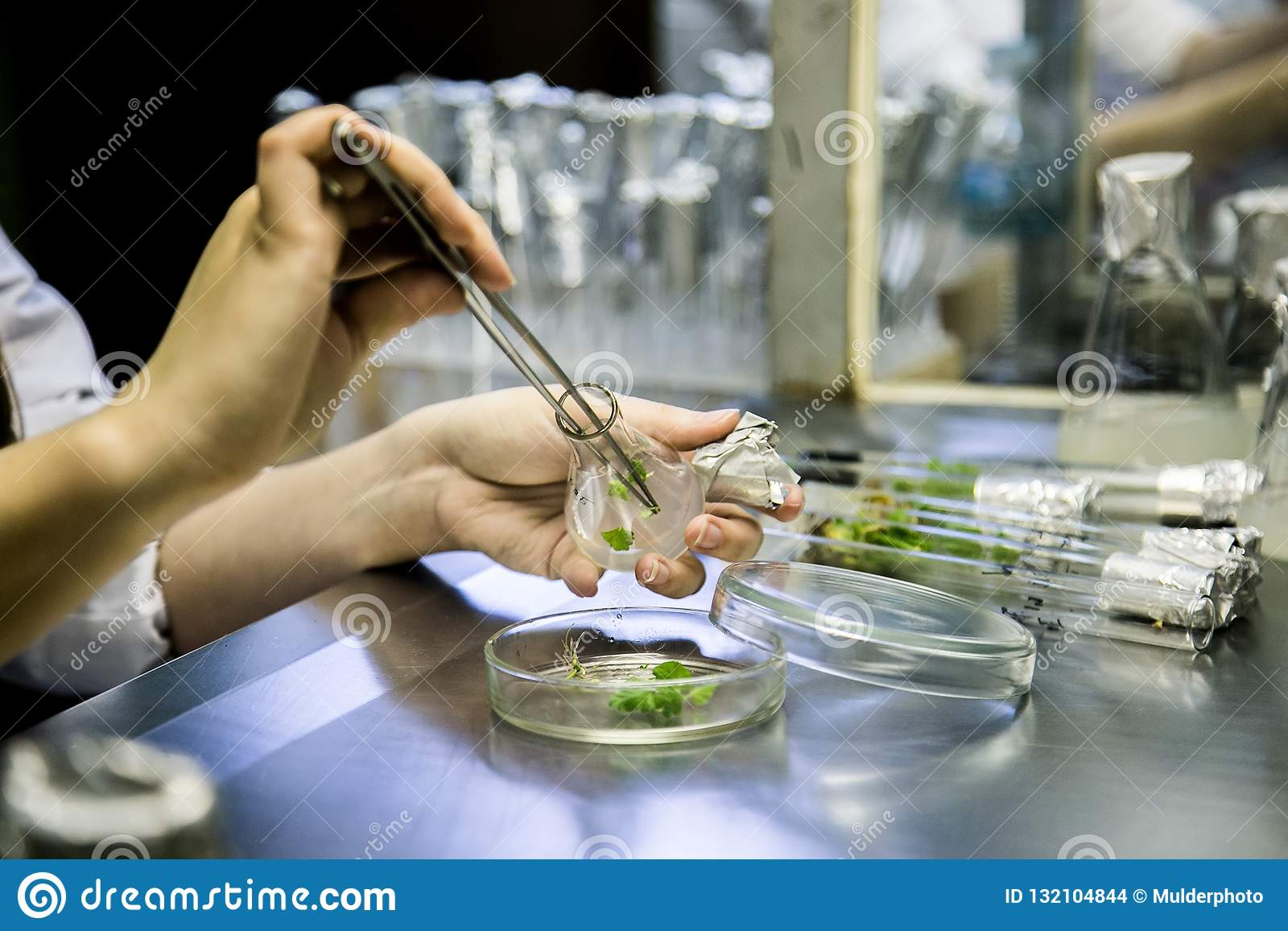 Graftage των microplants στο εργαστήριο της βιοτεχνολογίας