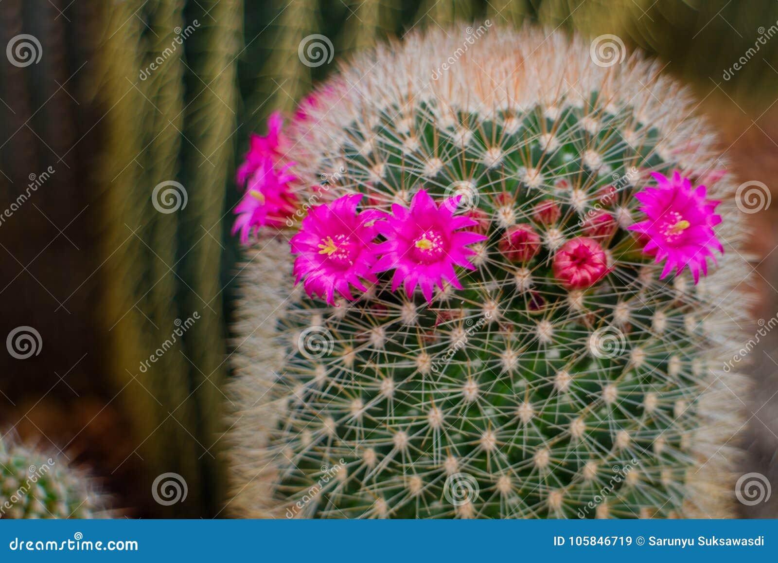 Grahamii di mammillaria, fiori del cactus