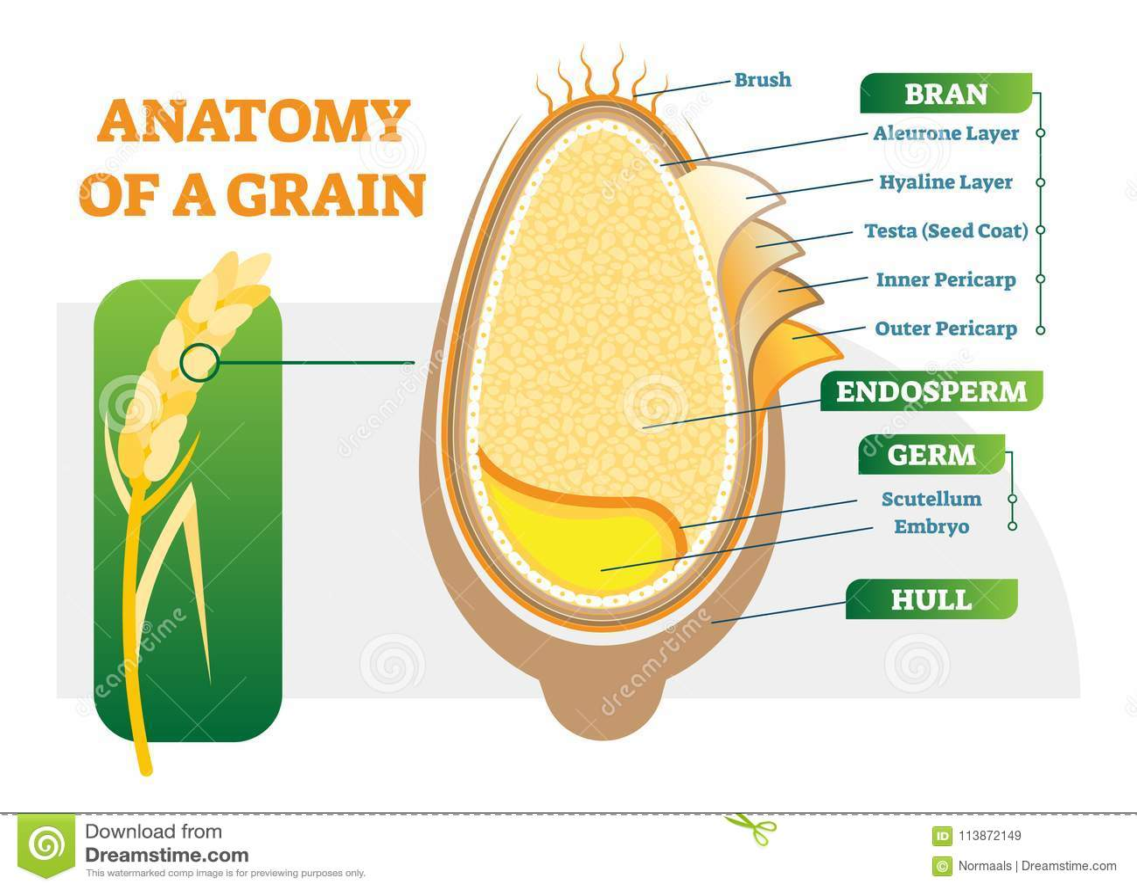 Grain Anatomical Layers Vector Illustration Diagram. Stock Vector ...