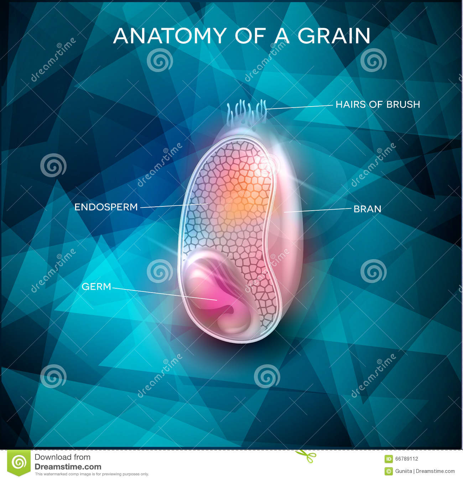 Grain Anatomy Background Stock Vector Illustration Of Anatomy