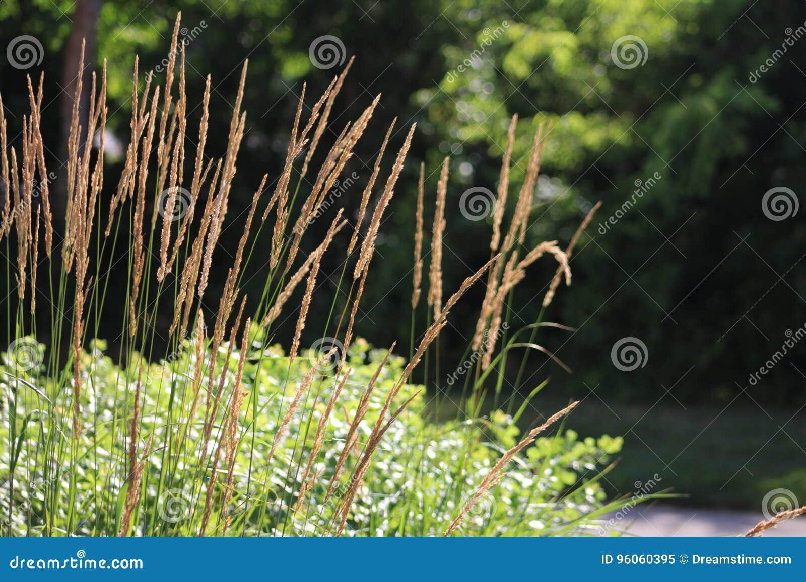 Grain dérivant dans le vent