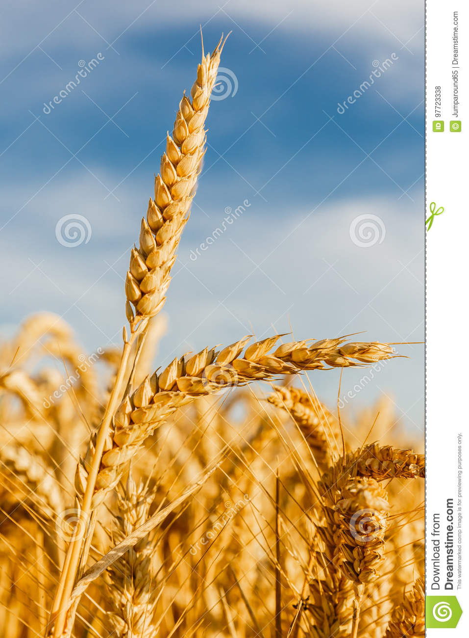 Grain in a farm field