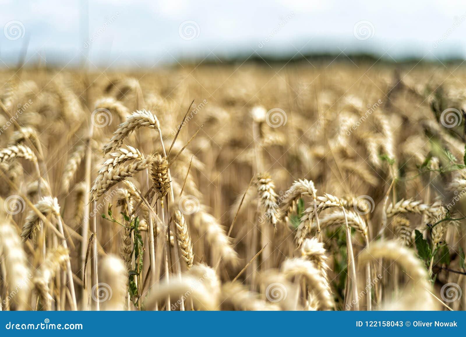 Grain on a field in Europe
