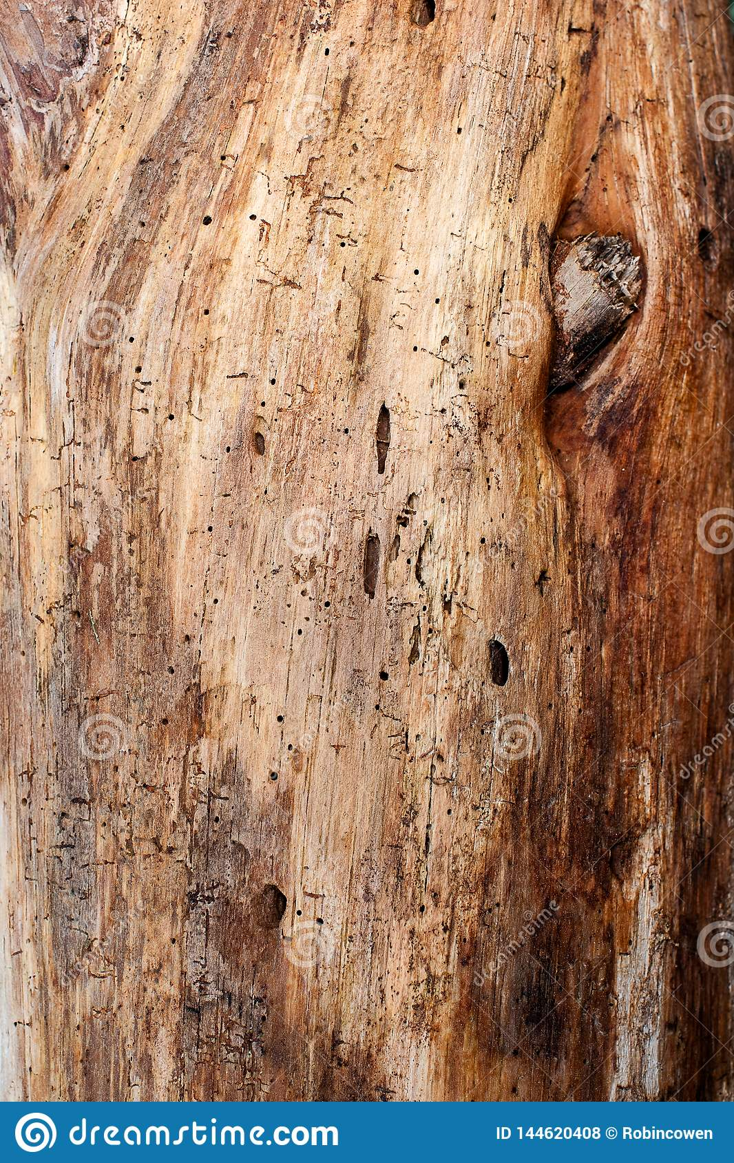 Wood Grain and Knot of a Pine Tree