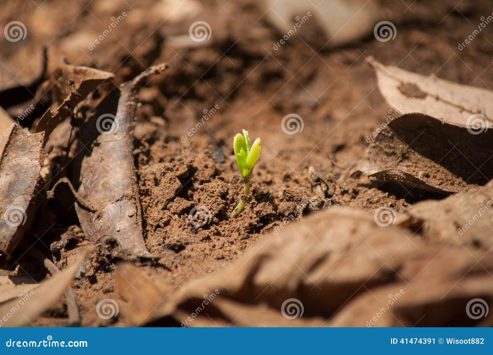 graine croissante de caf sur la terre photo stock image 41474391. Black Bedroom Furniture Sets. Home Design Ideas
